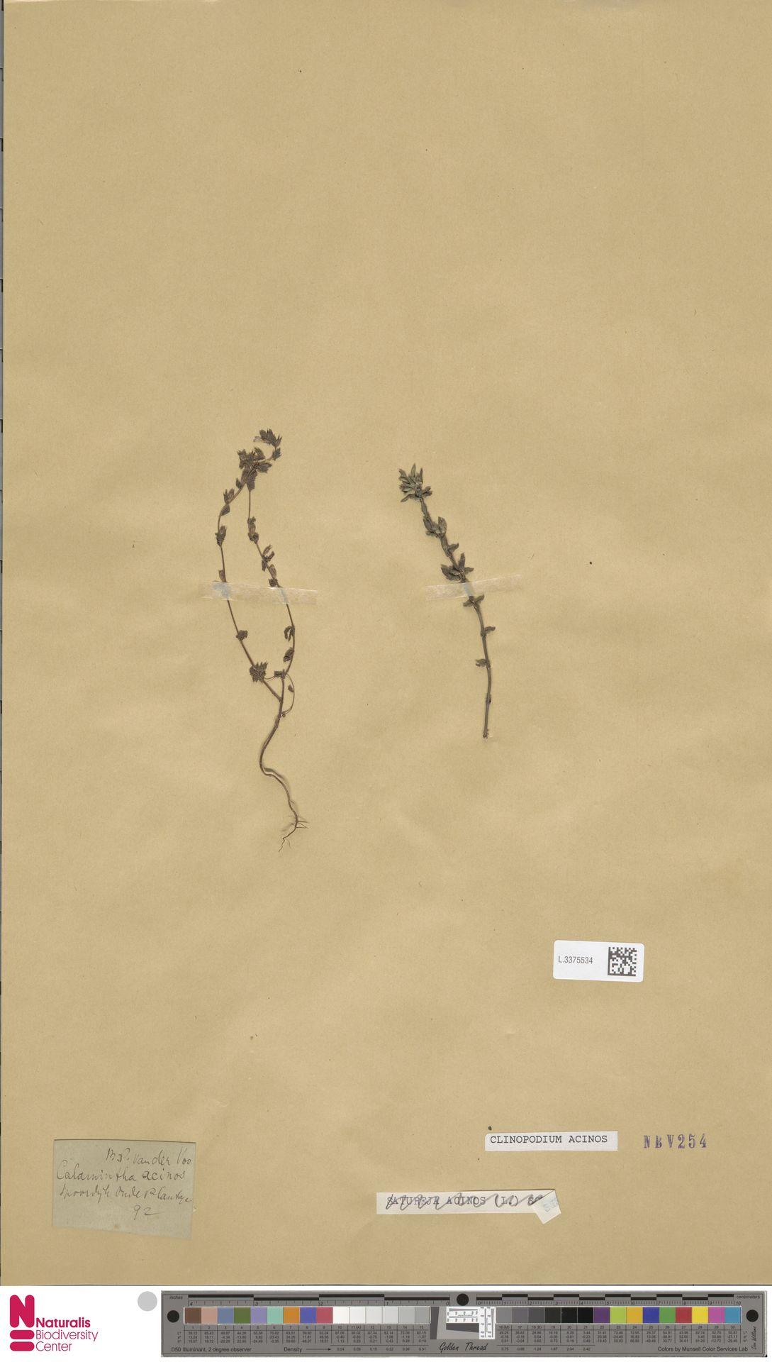 L.3375534 | Clinopodium acinos (L.) Kuntze