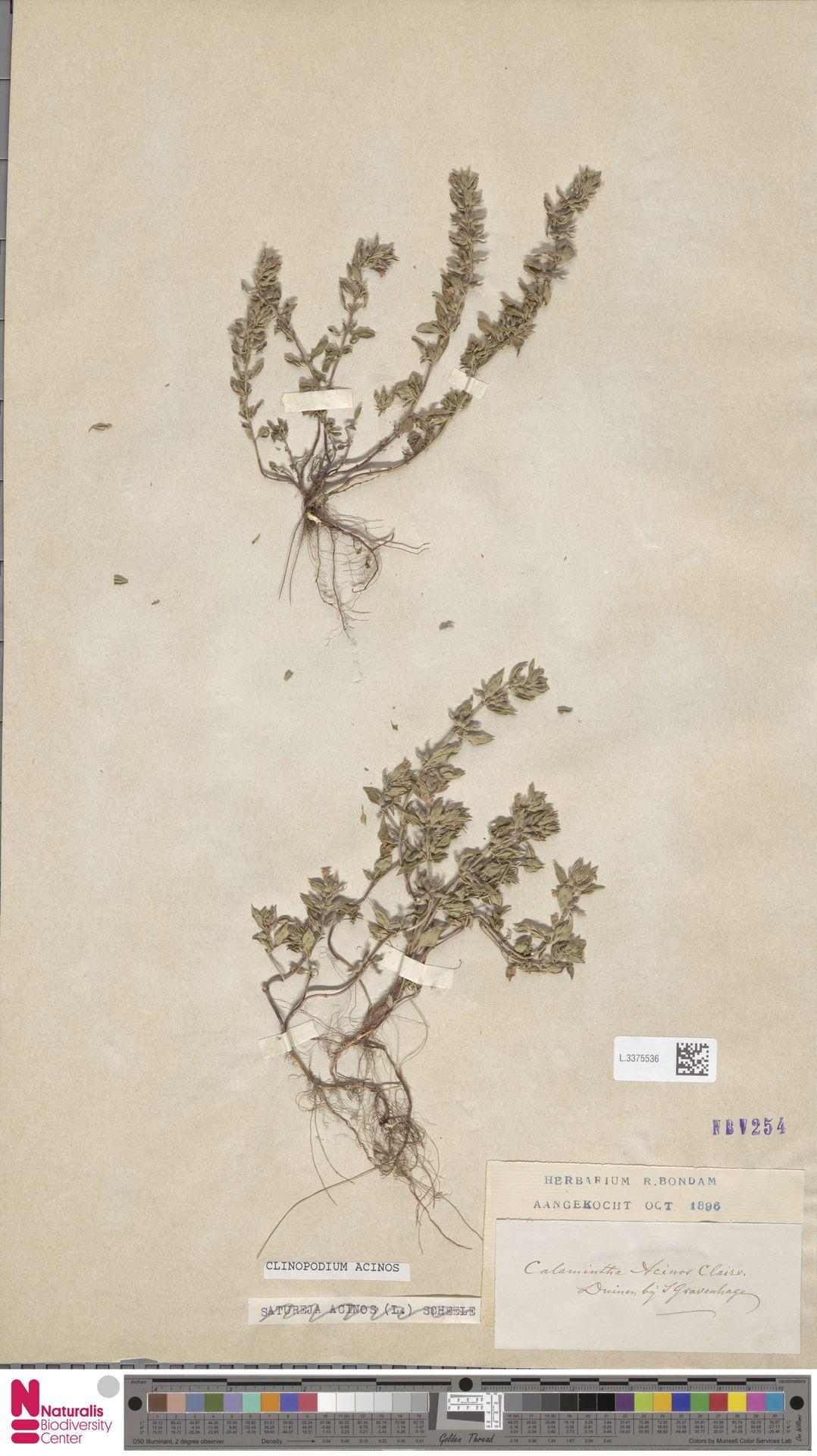 L.3375536 | Clinopodium acinos (L.) Kuntze