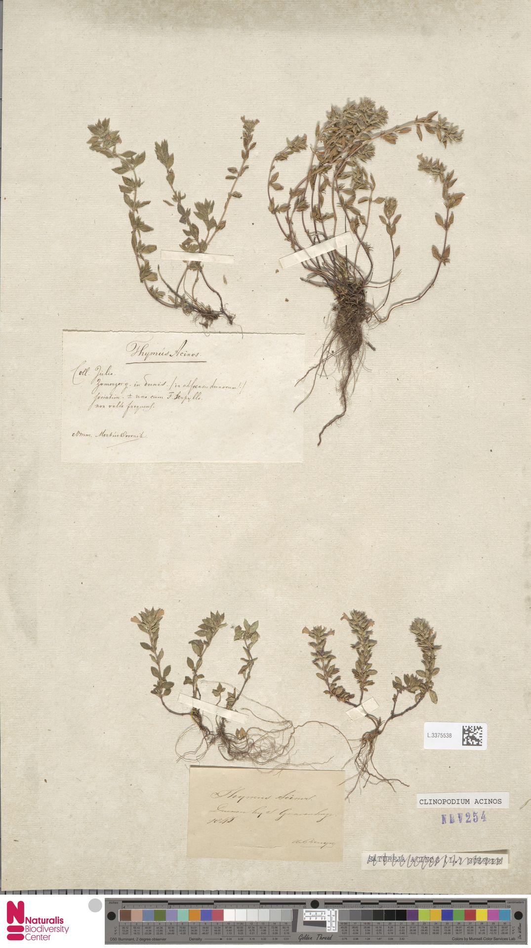 L.3375538 | Clinopodium acinos (L.) Kuntze