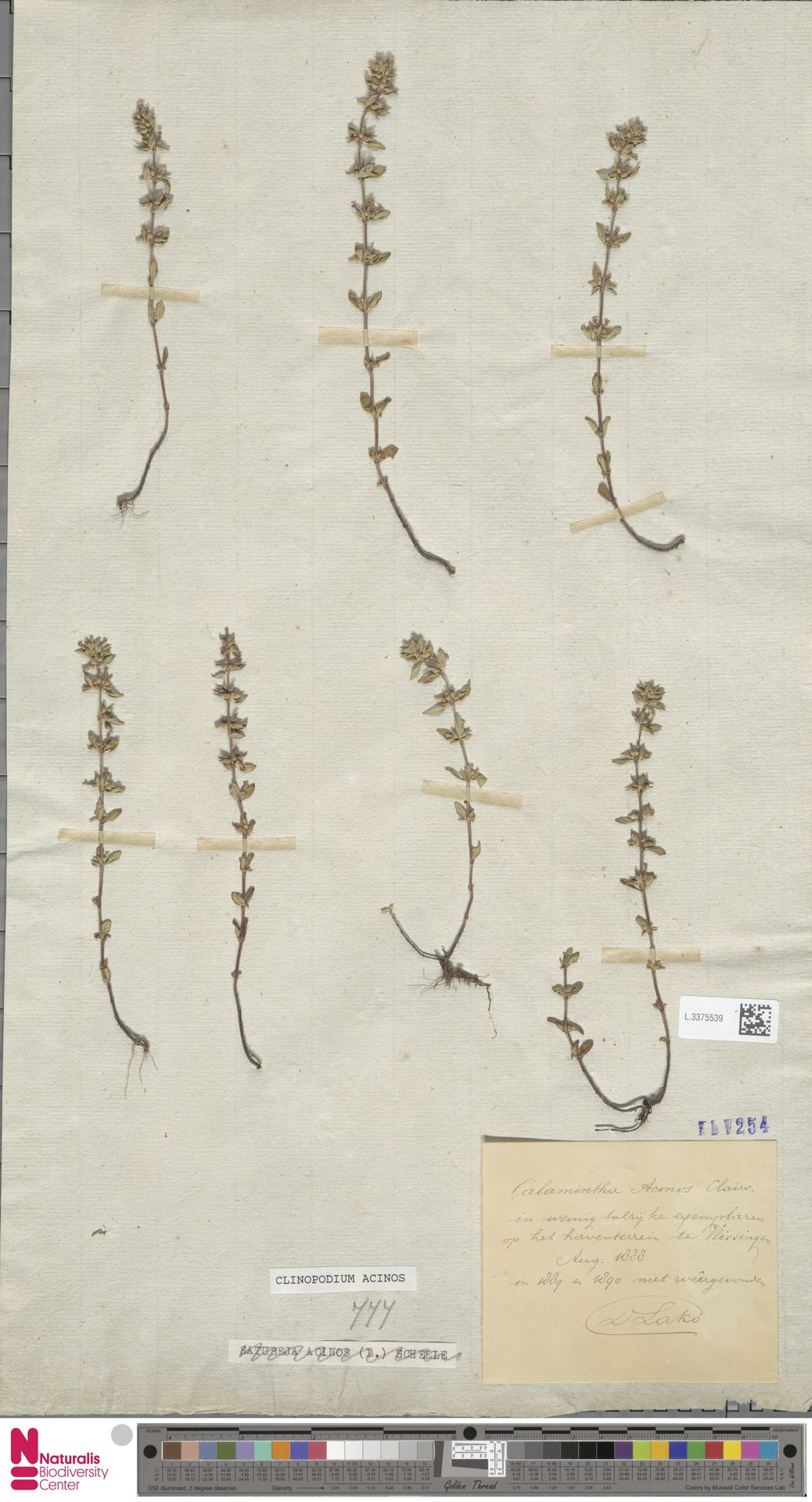 L.3375539   Clinopodium acinos (L.) Kuntze