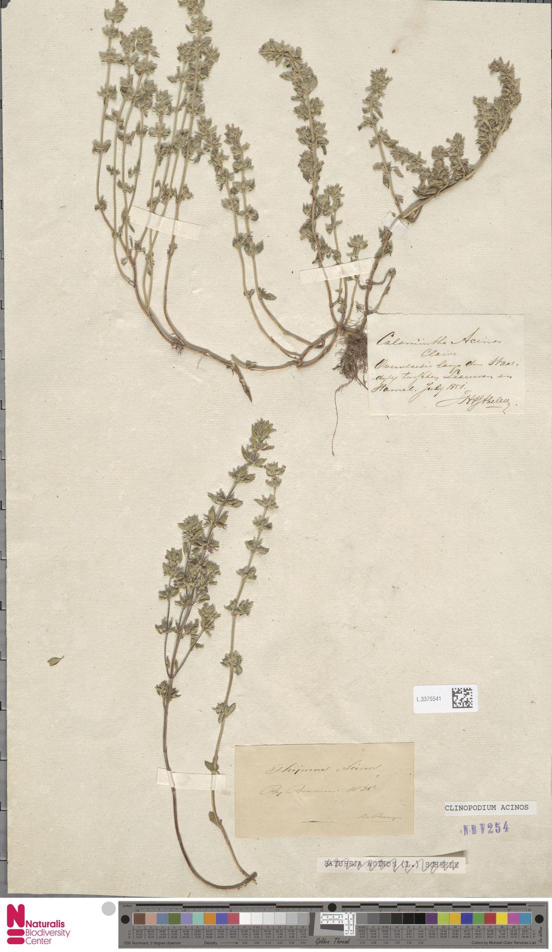 L.3375541   Clinopodium acinos (L.) Kuntze