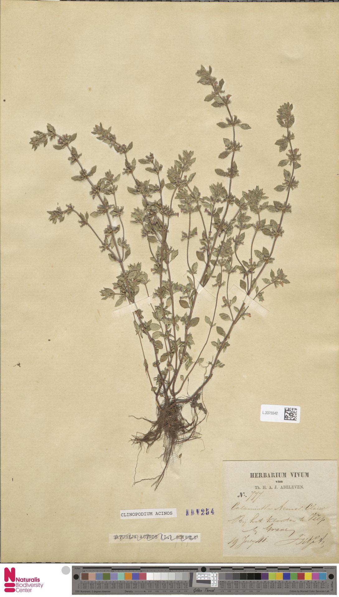 L.3375542 | Clinopodium acinos (L.) Kuntze