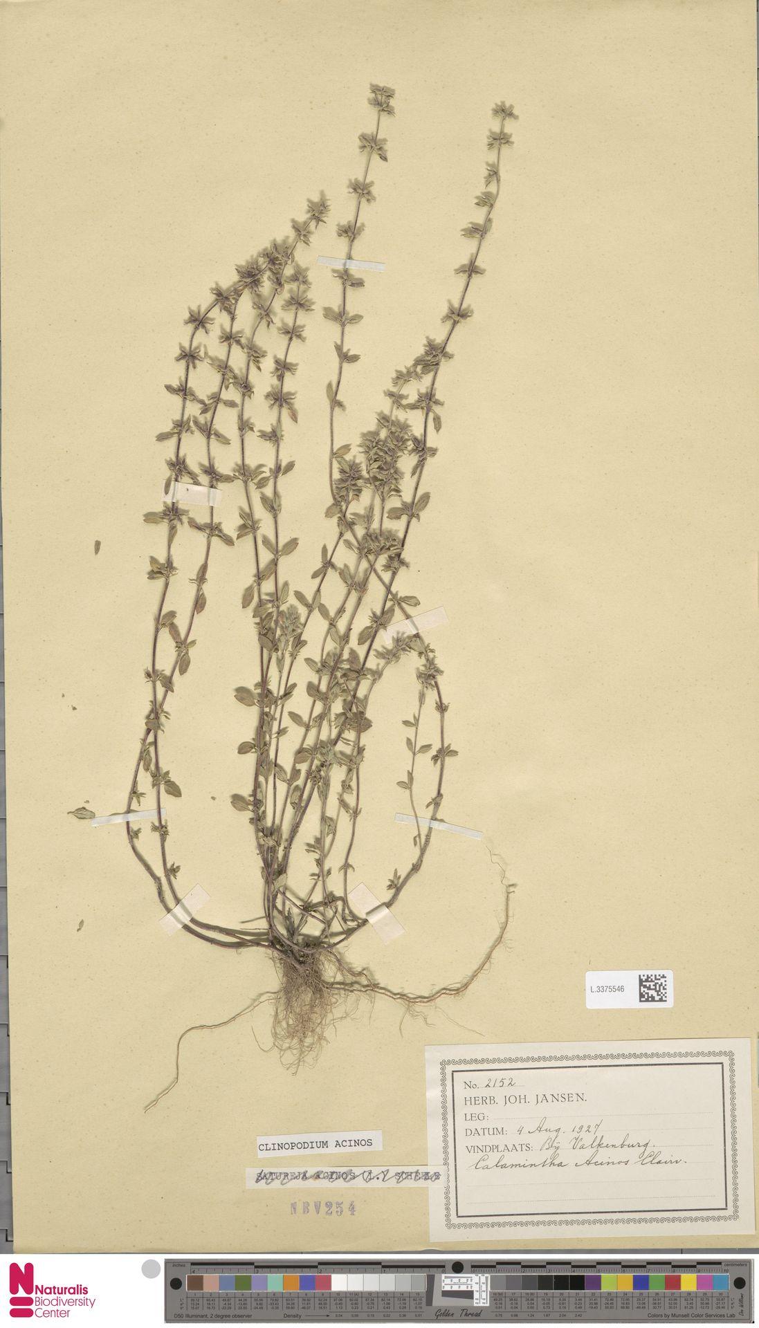 L.3375546   Clinopodium acinos (L.) Kuntze