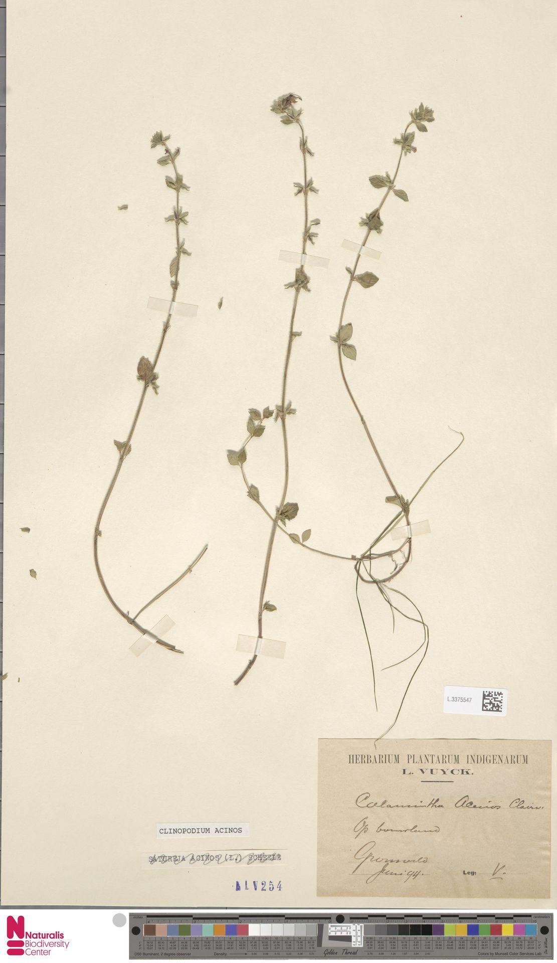 L.3375547 | Clinopodium acinos (L.) Kuntze