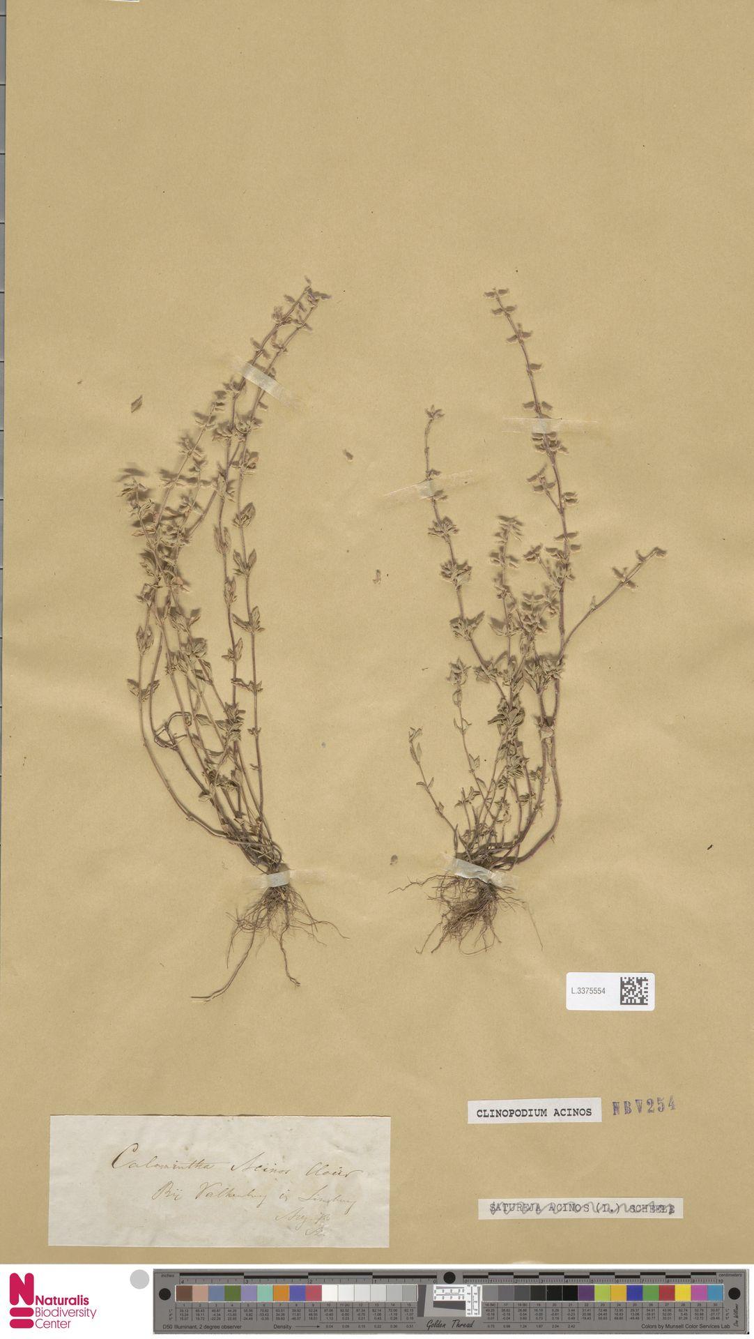 L.3375554 | Clinopodium acinos (L.) Kuntze