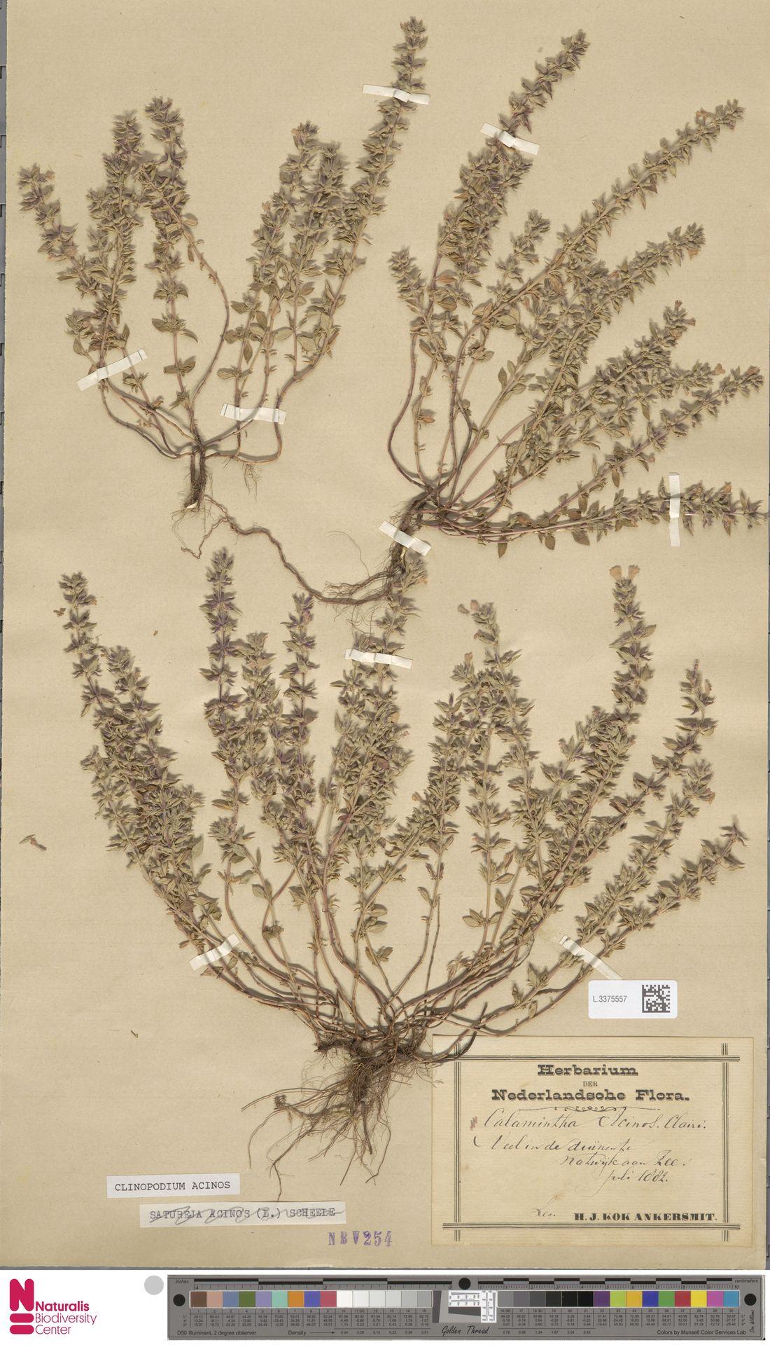 L.3375557   Clinopodium acinos (L.) Kuntze