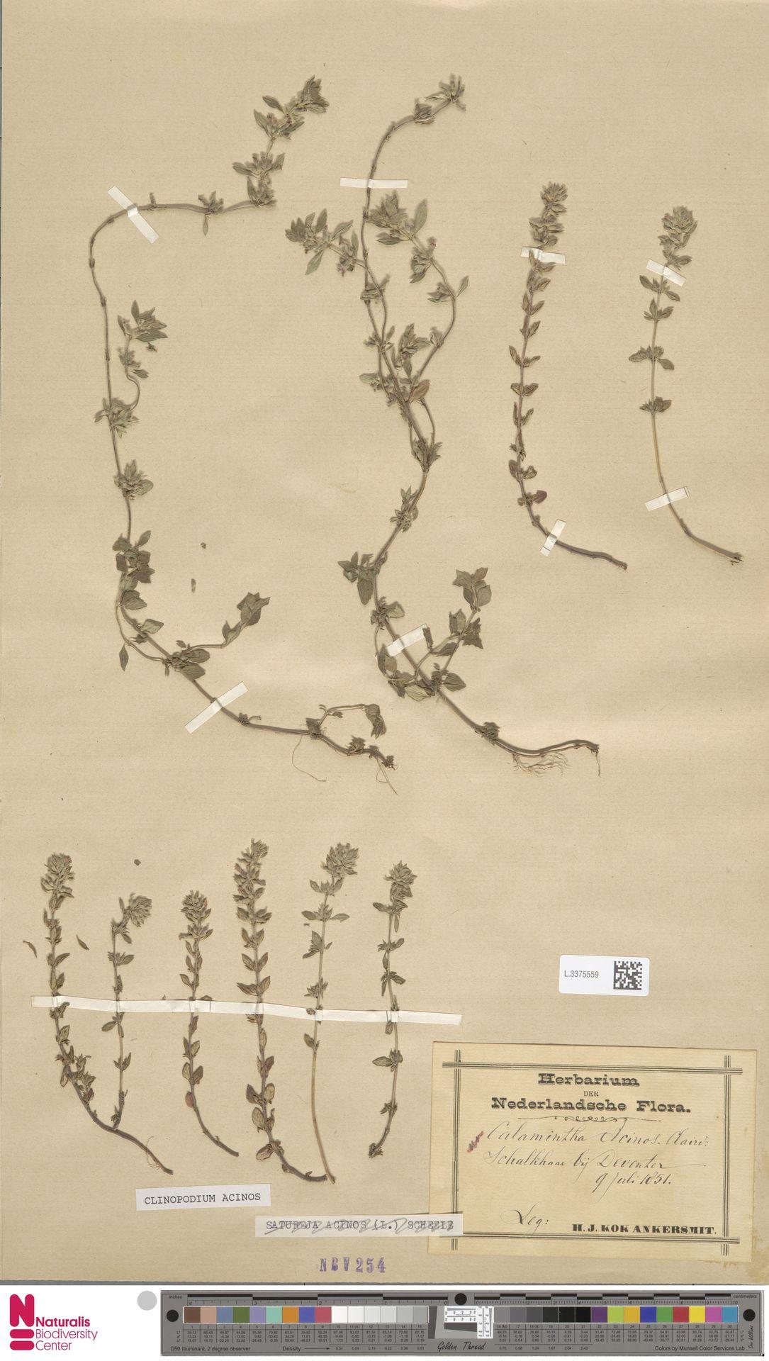L.3375559   Clinopodium acinos (L.) Kuntze