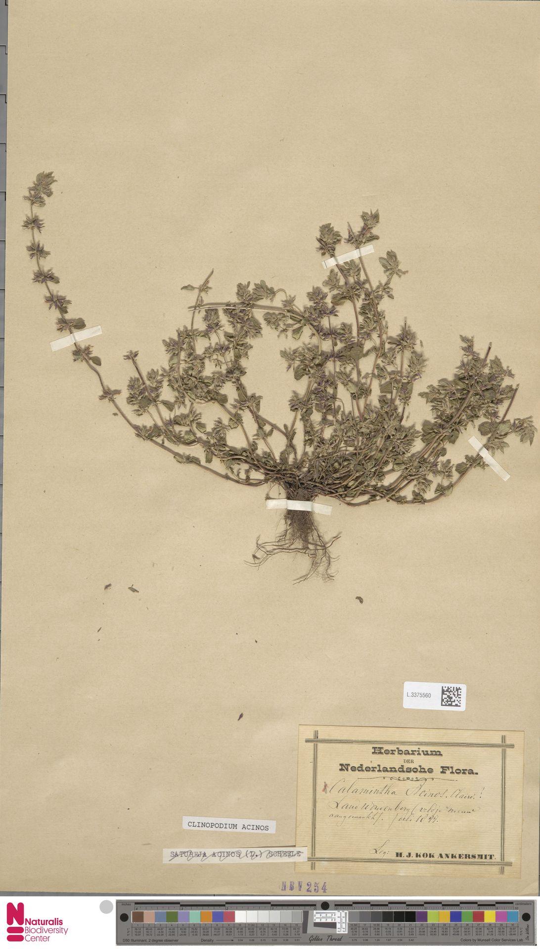 L.3375560 | Clinopodium acinos (L.) Kuntze