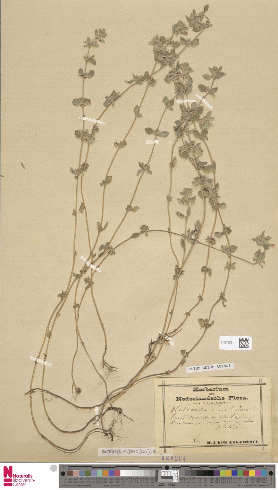 L.3375561 | Clinopodium acinos (L.) Kuntze