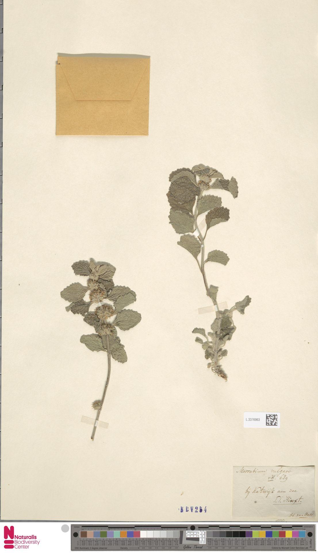 L.3376963 | Marrubium vulgare L.