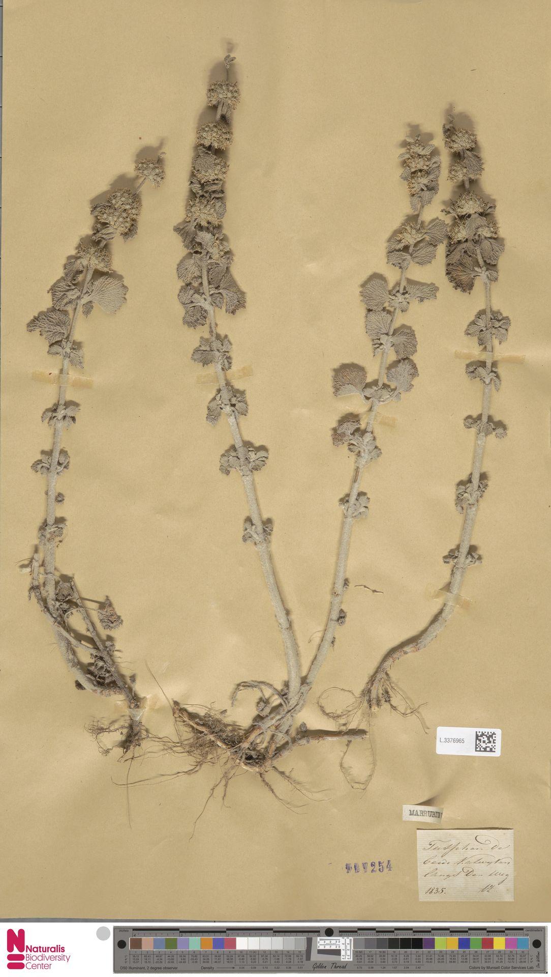 L.3376965 | Marrubium vulgare L.