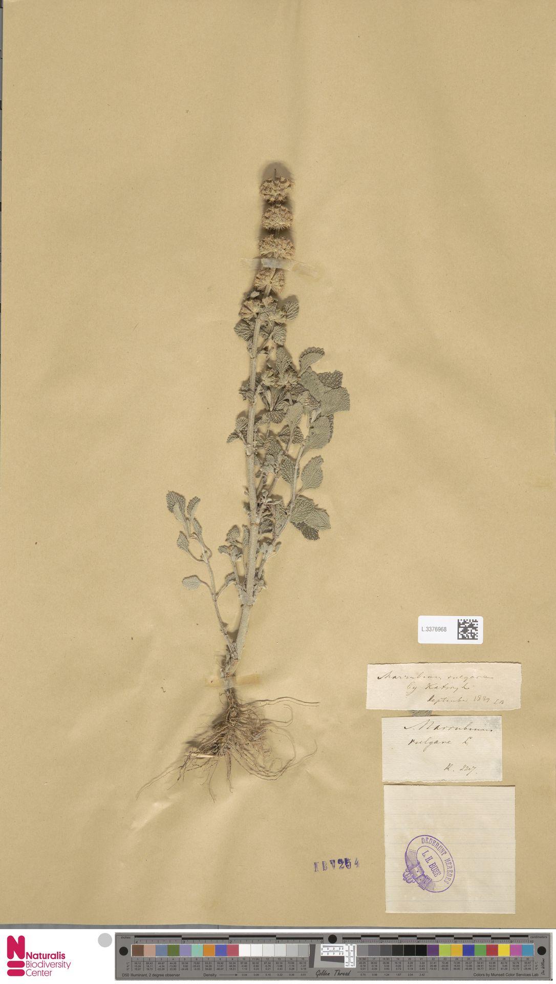 L.3376968 | Marrubium vulgare L.