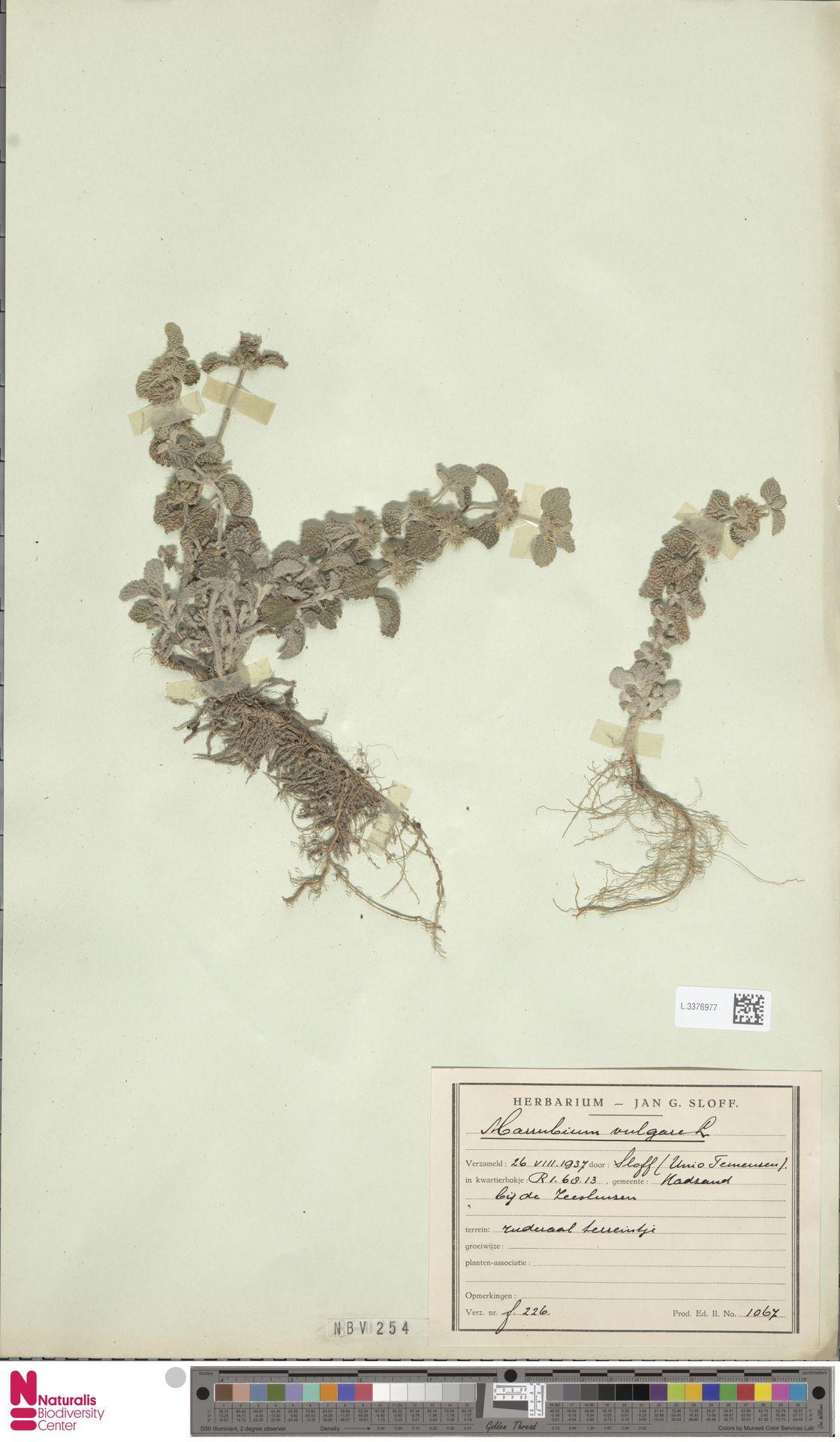 L.3376977 | Marrubium vulgare L.