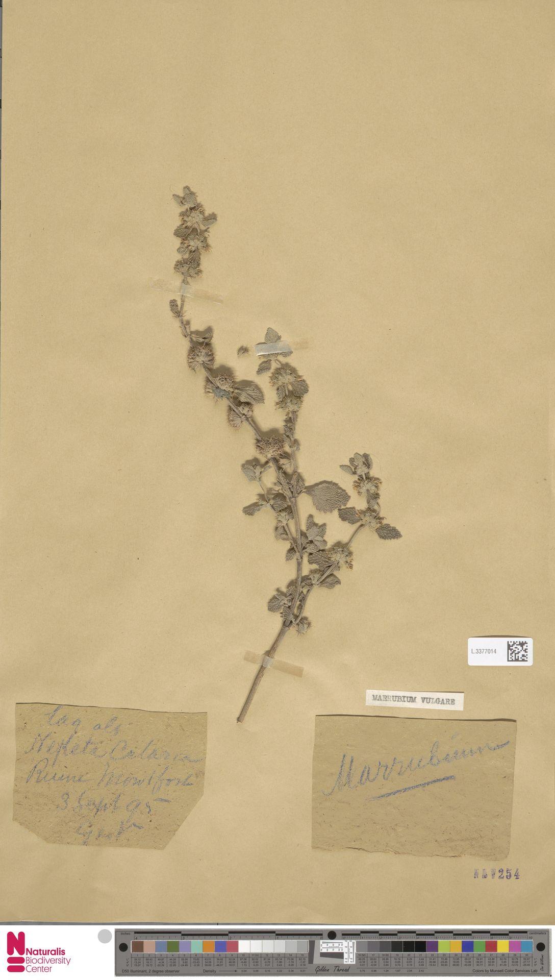 L.3377014 | Marrubium vulgare L.