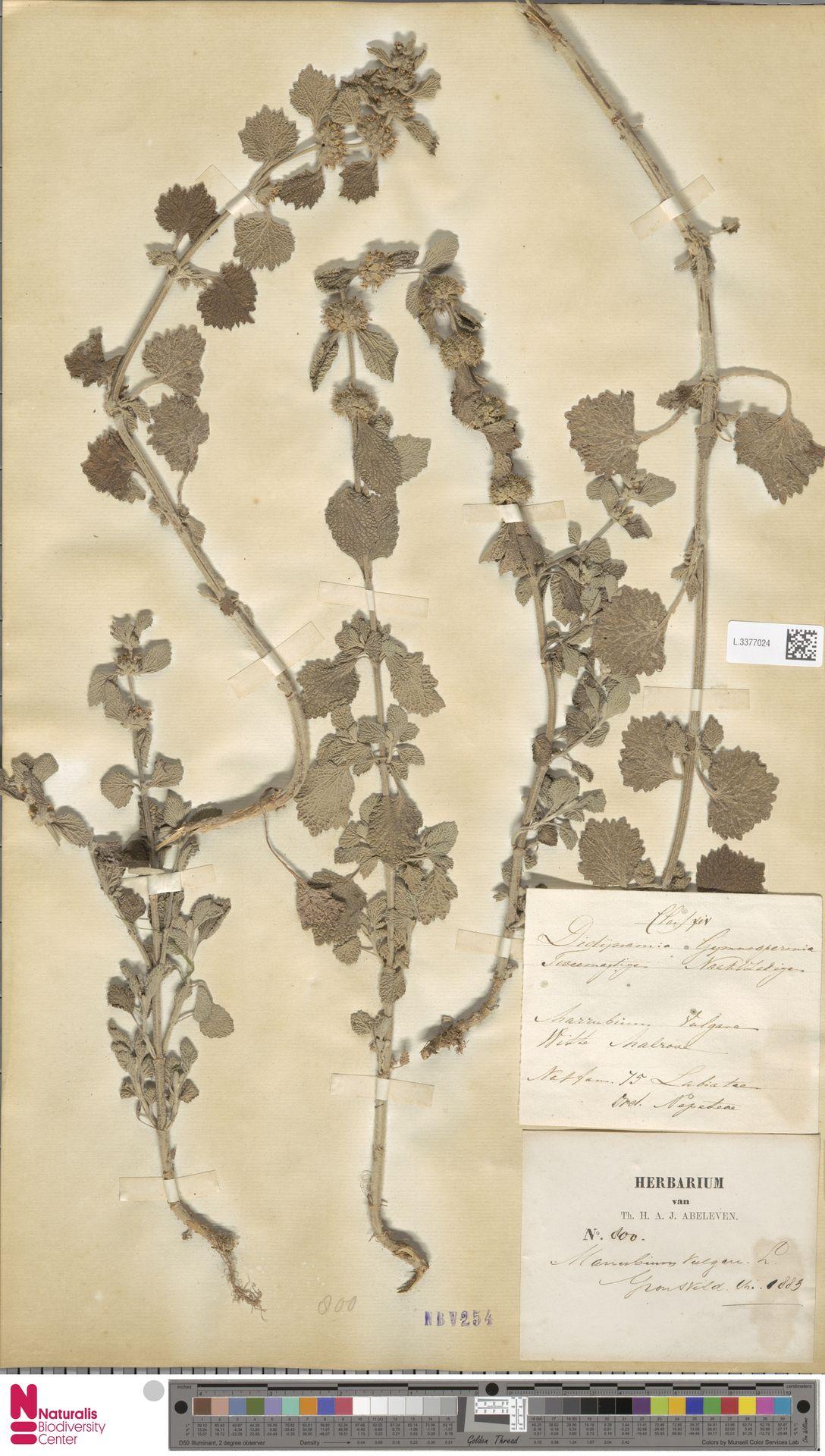 L.3377024   Marrubium vulgare L.