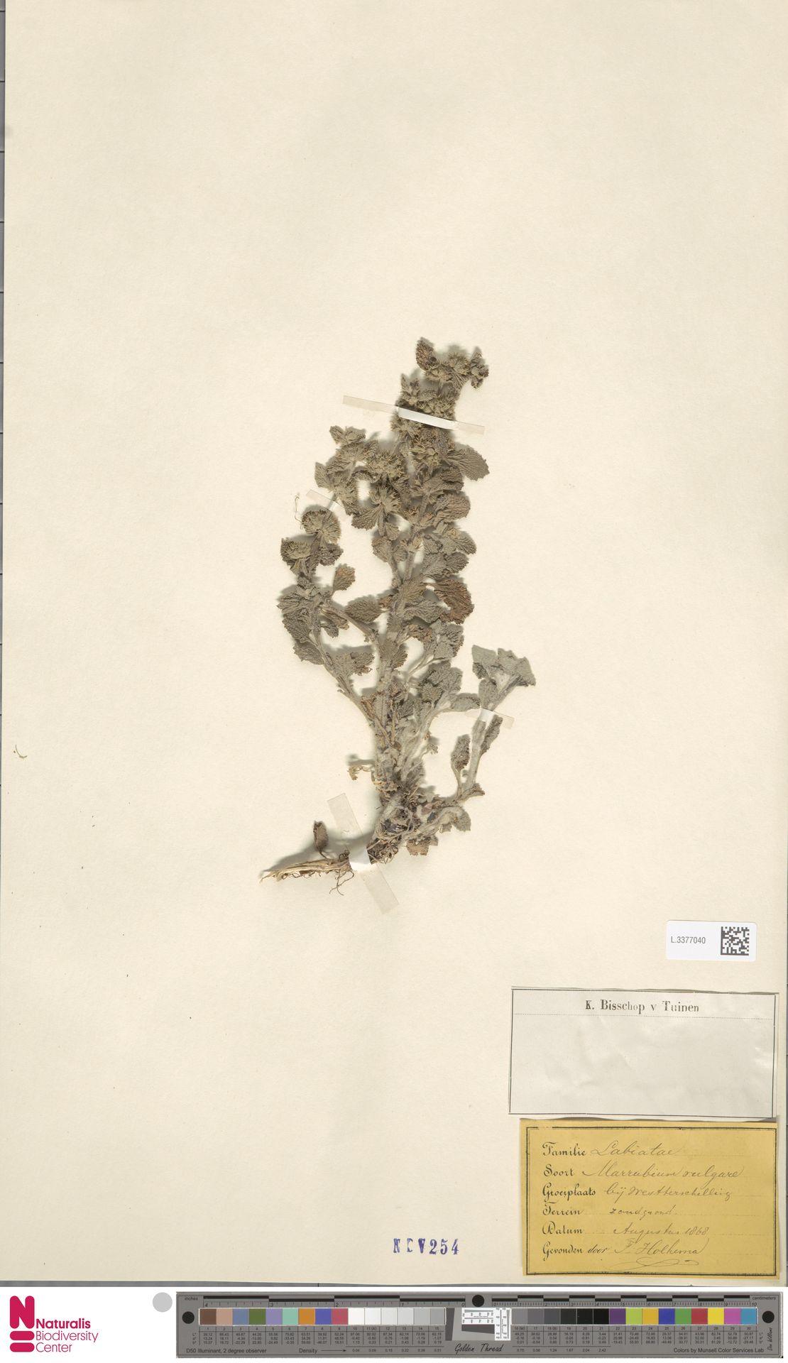 L.3377040 | Marrubium vulgare L.