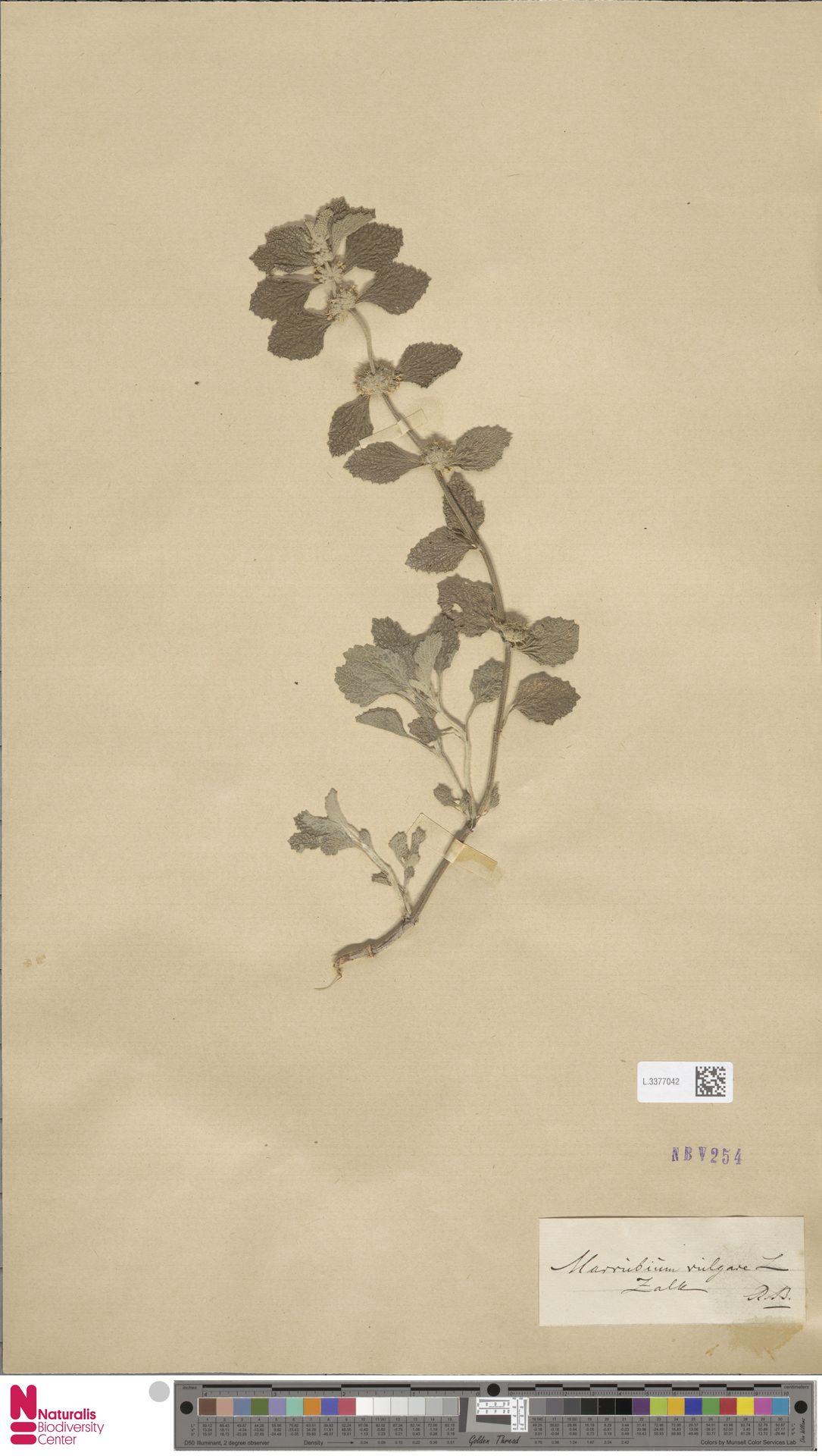 L.3377042 | Marrubium vulgare L.