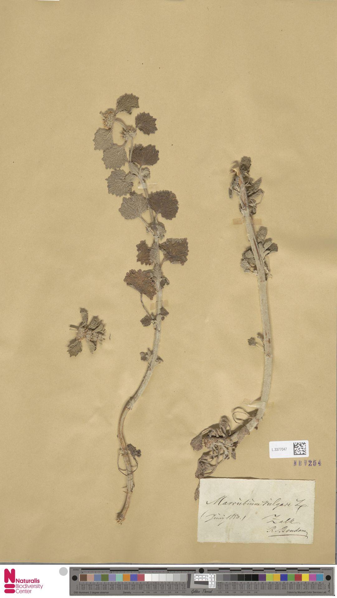 L.3377047 | Marrubium vulgare L.