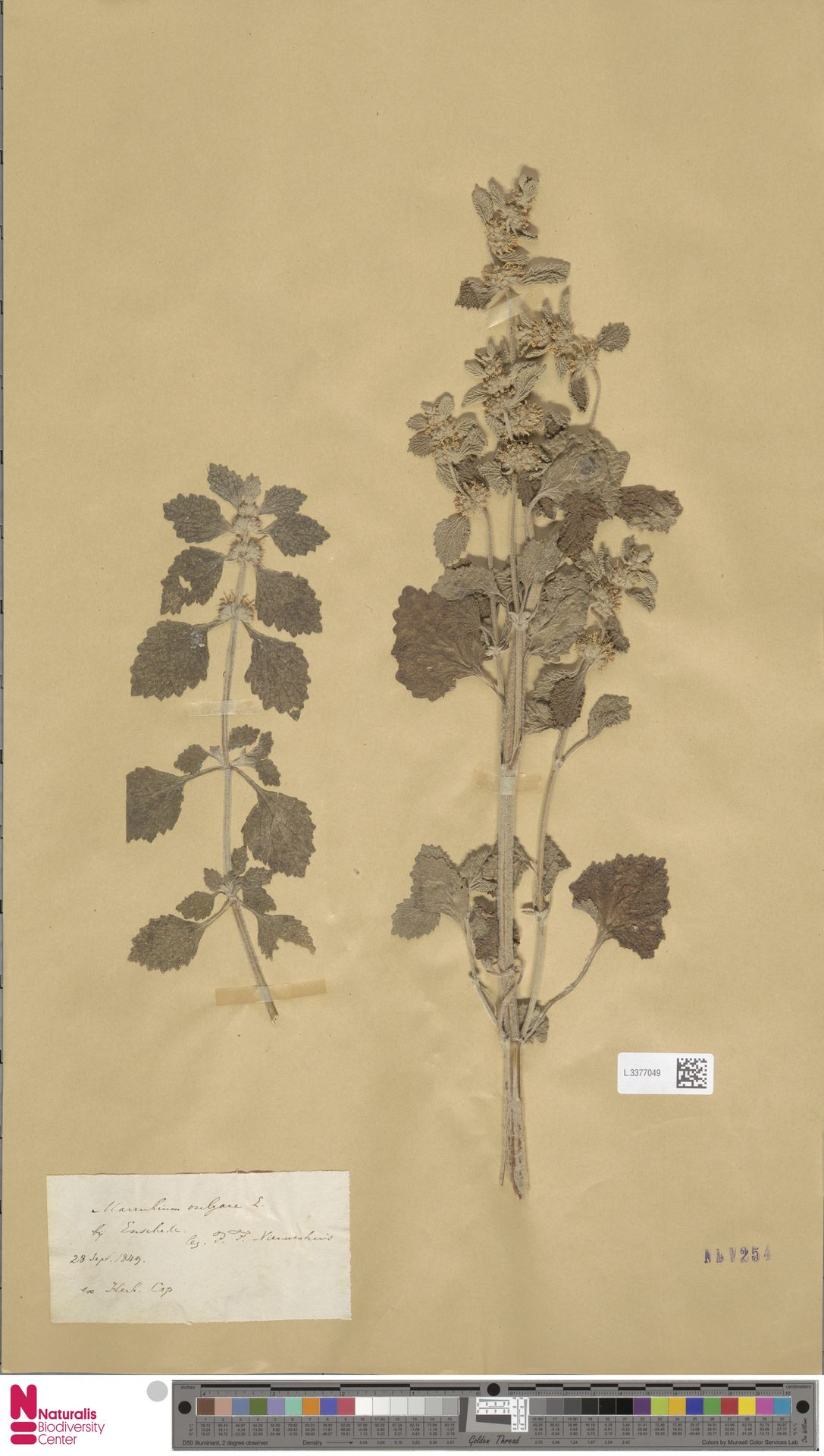 L.3377049   Marrubium vulgare L.