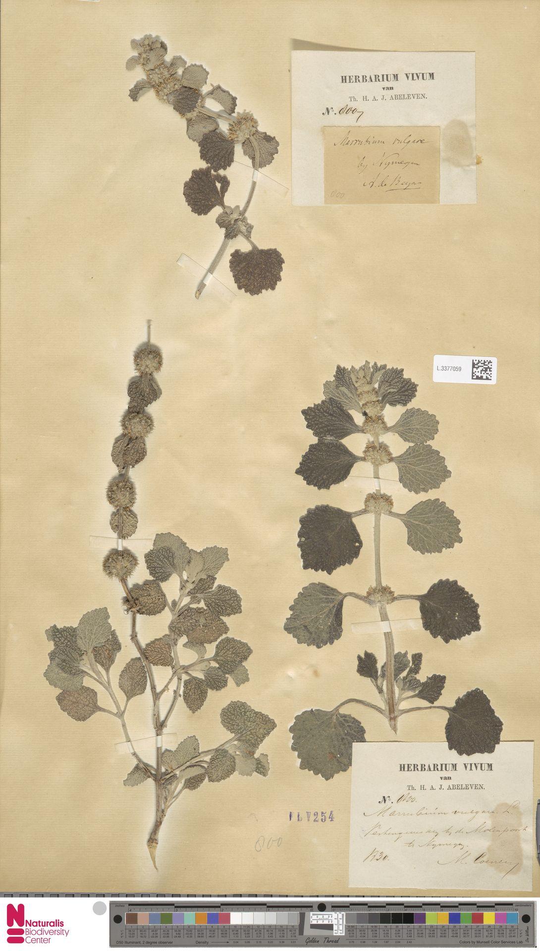 L.3377059   Marrubium vulgare L.