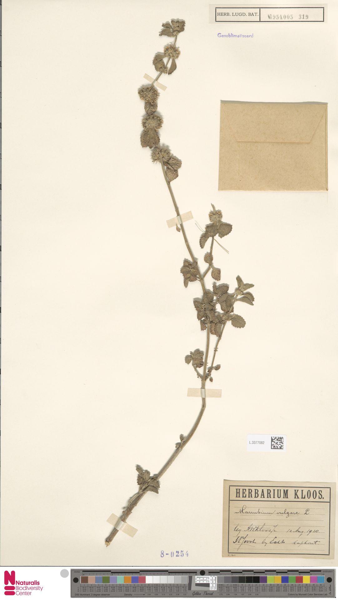 L.3377082 | Marrubium vulgare L.