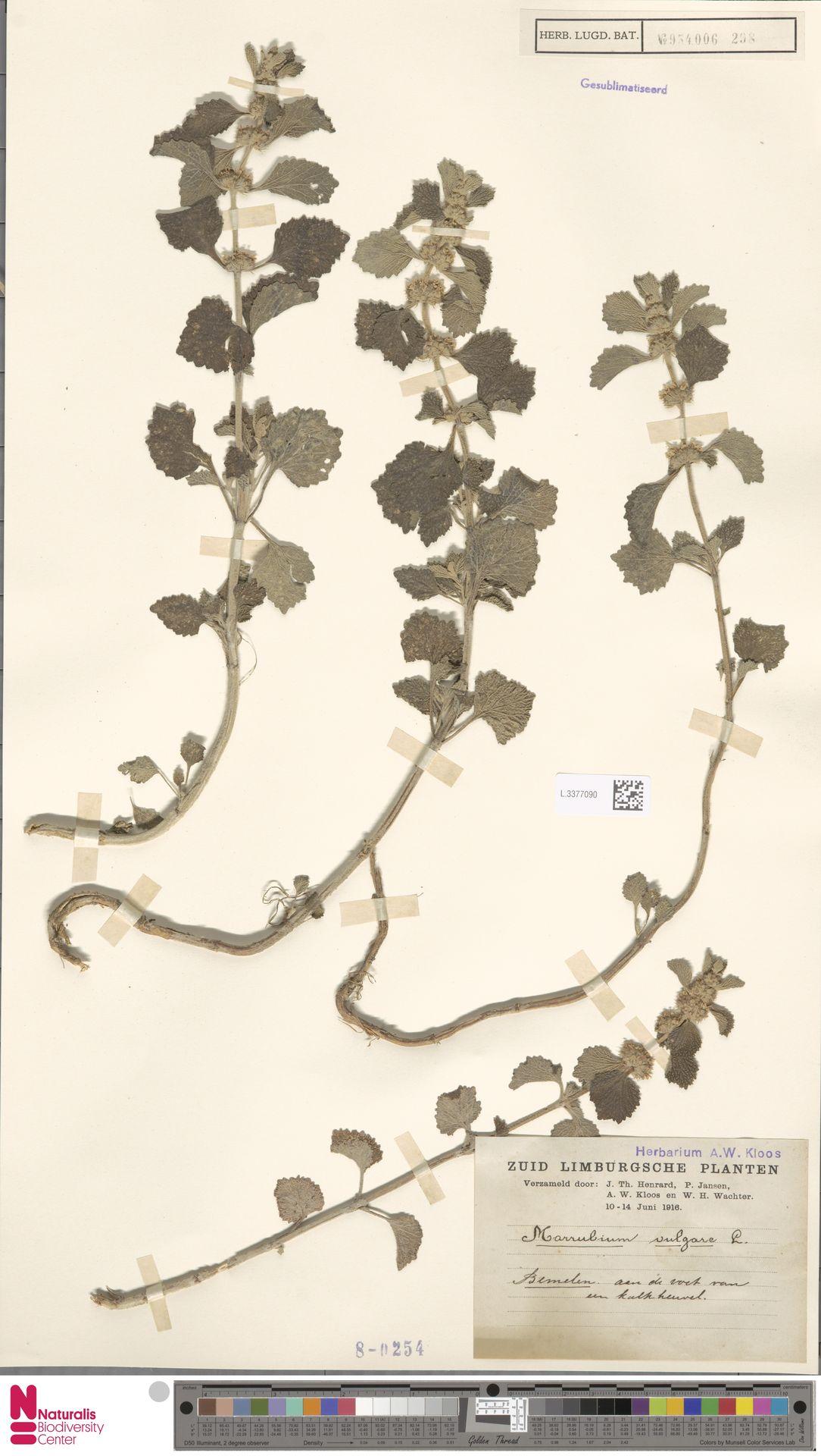L.3377090   Marrubium vulgare L.