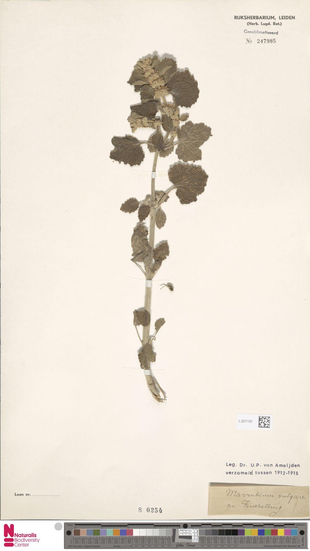 L.3377107 | Marrubium vulgare L.