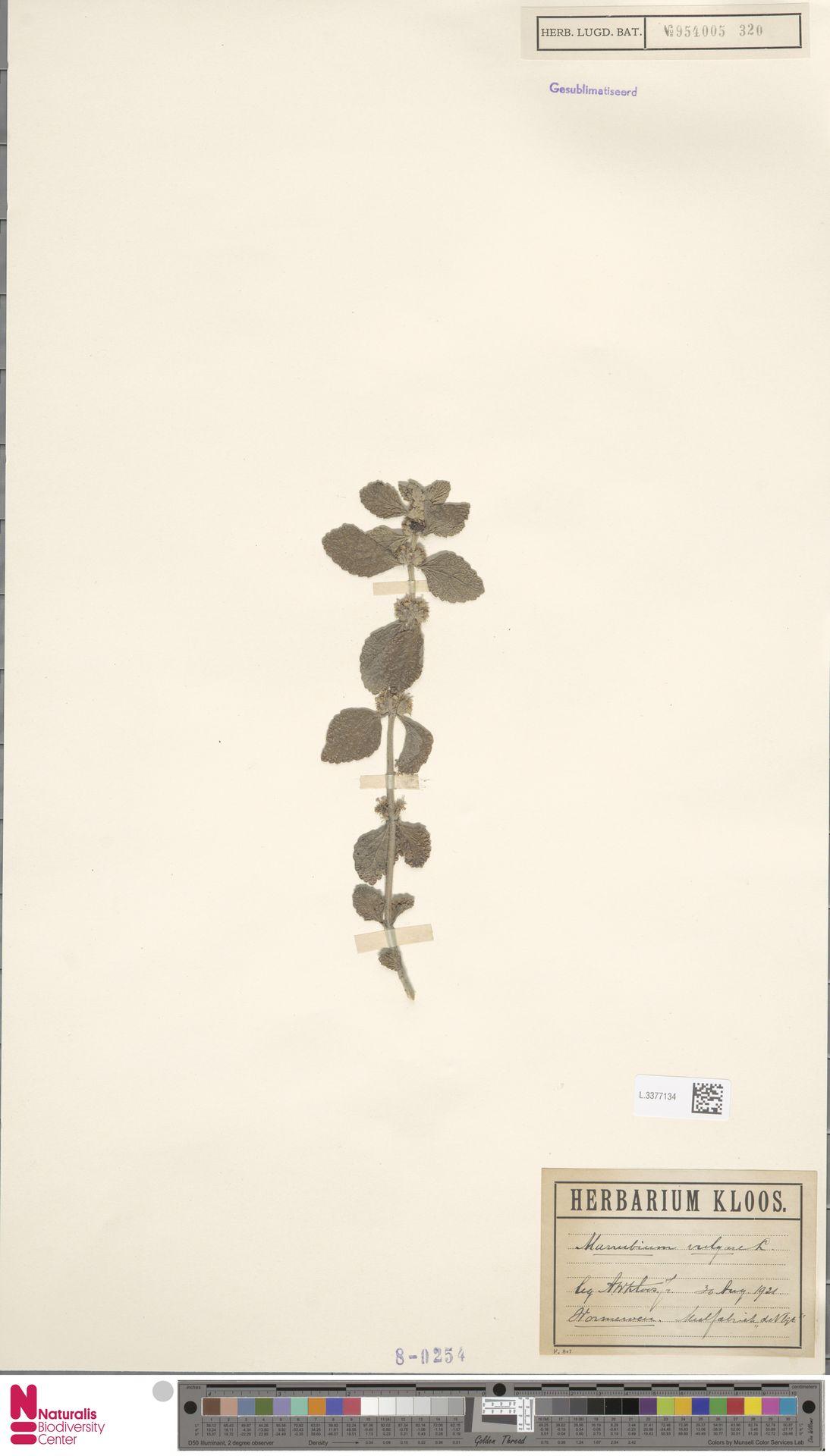 L.3377134 | Marrubium vulgare L.