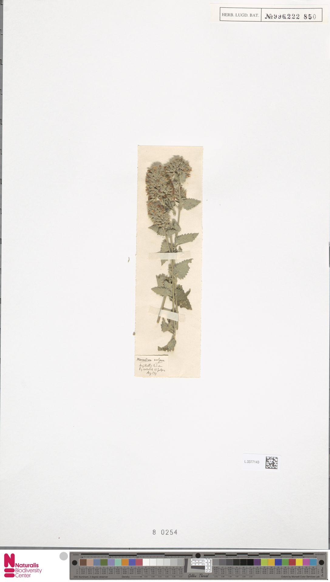 L.3377143 | Marrubium vulgare L.