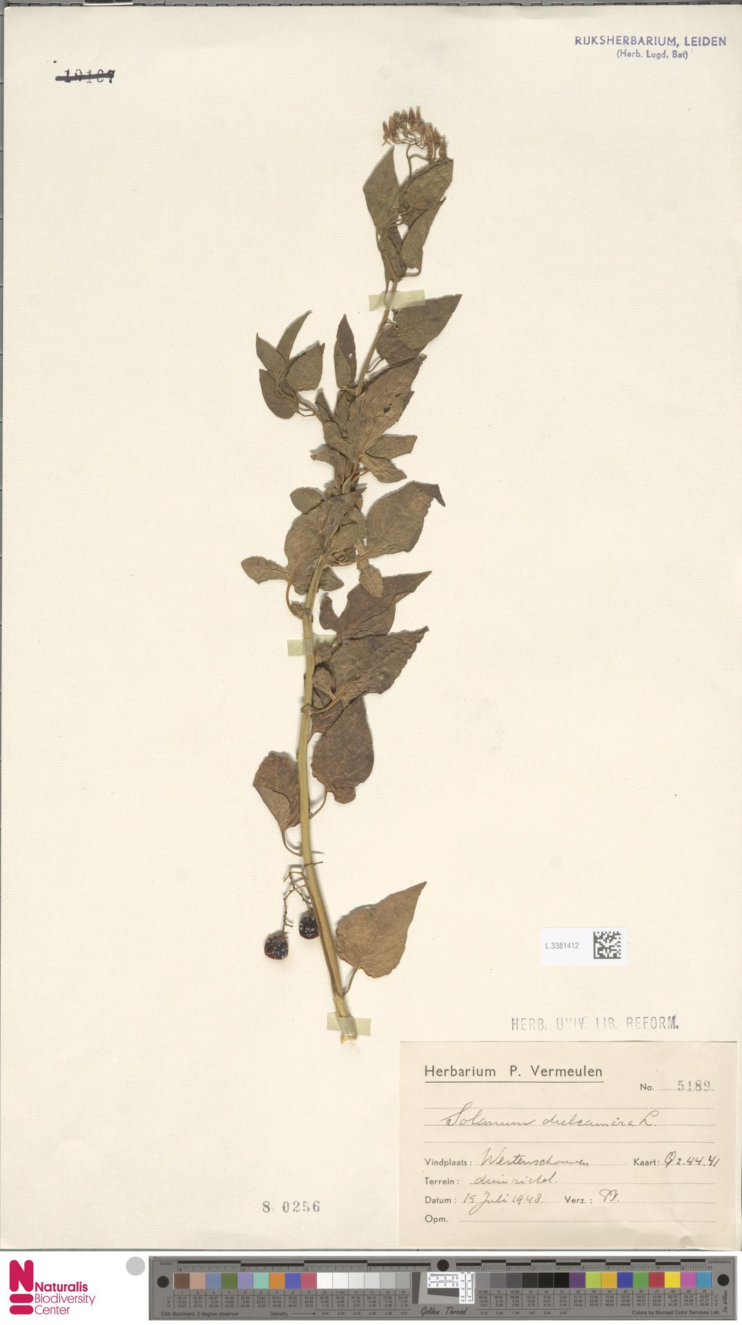 L.3381412 | Solanum dulcamara L.