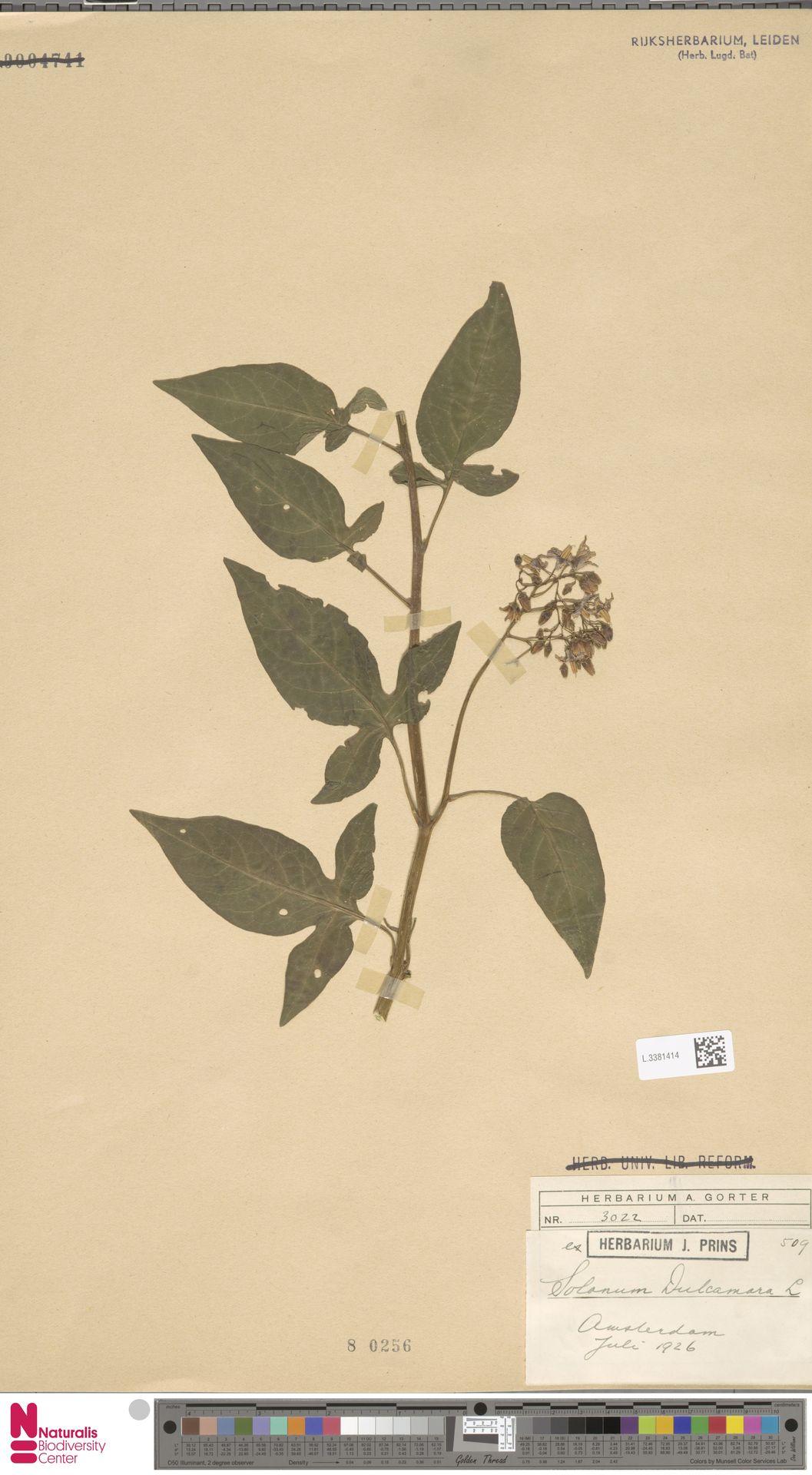 L.3381414 | Solanum dulcamara L.