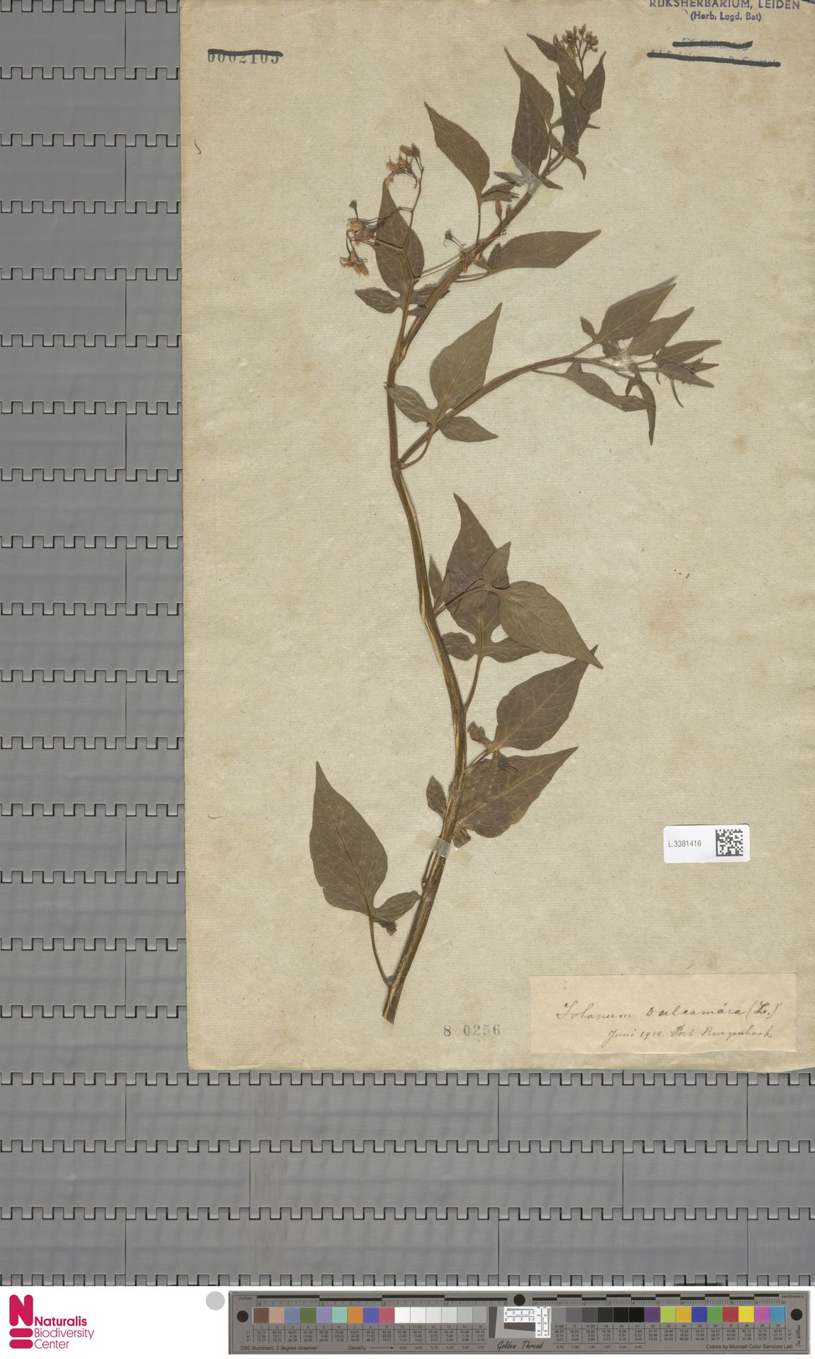 L.3381416 | Solanum dulcamara L.