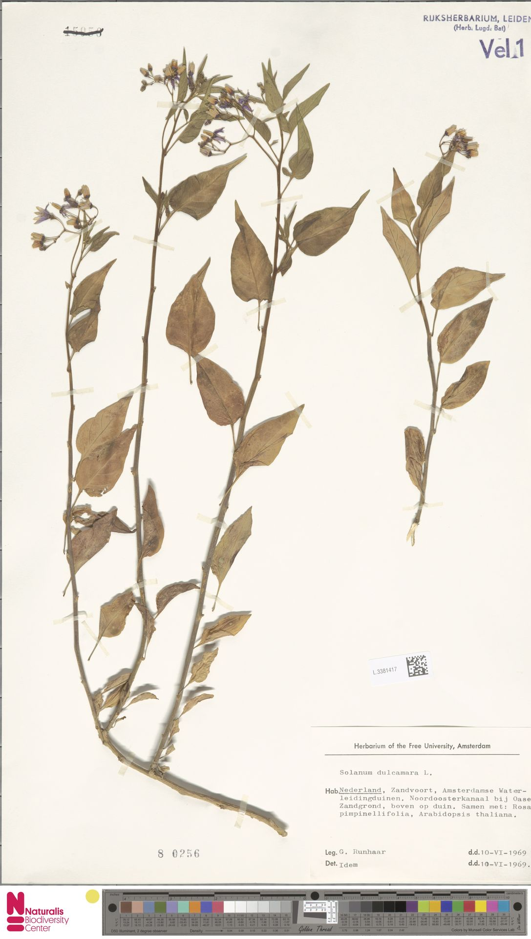L.3381417 | Solanum dulcamara L.