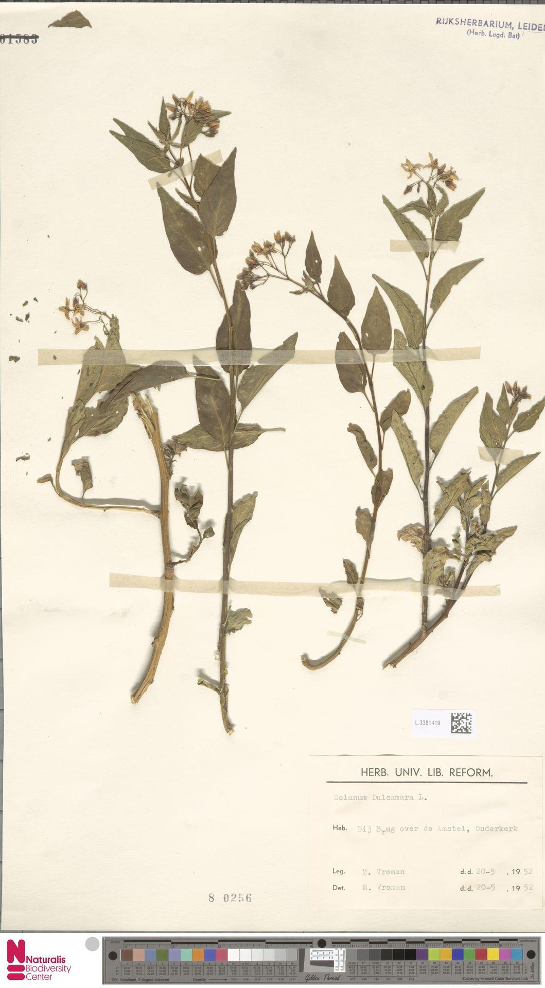 L.3381419   Solanum dulcamara L.