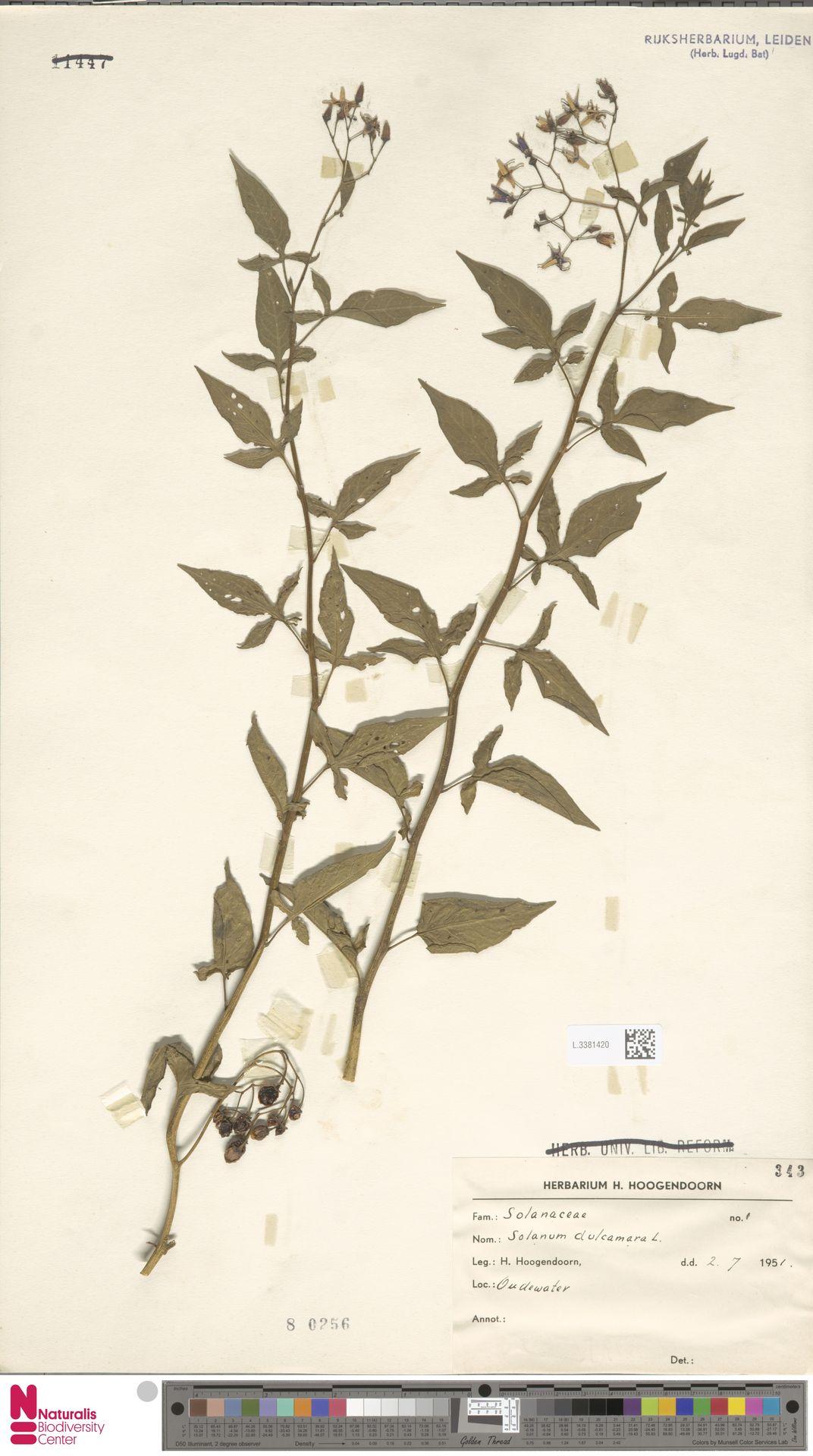 L.3381420 | Solanum dulcamara L.