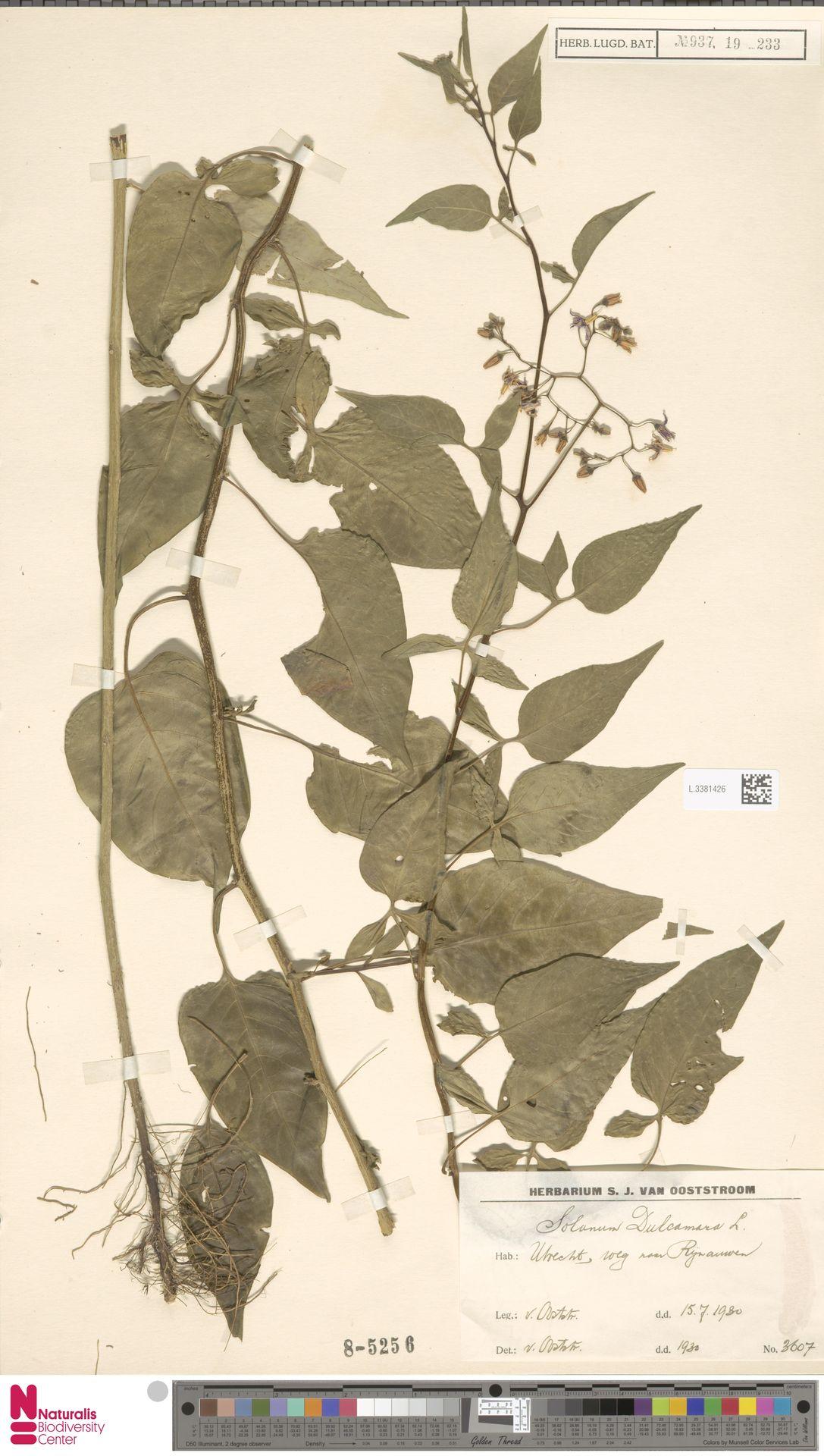 L.3381426 | Solanum dulcamara L.