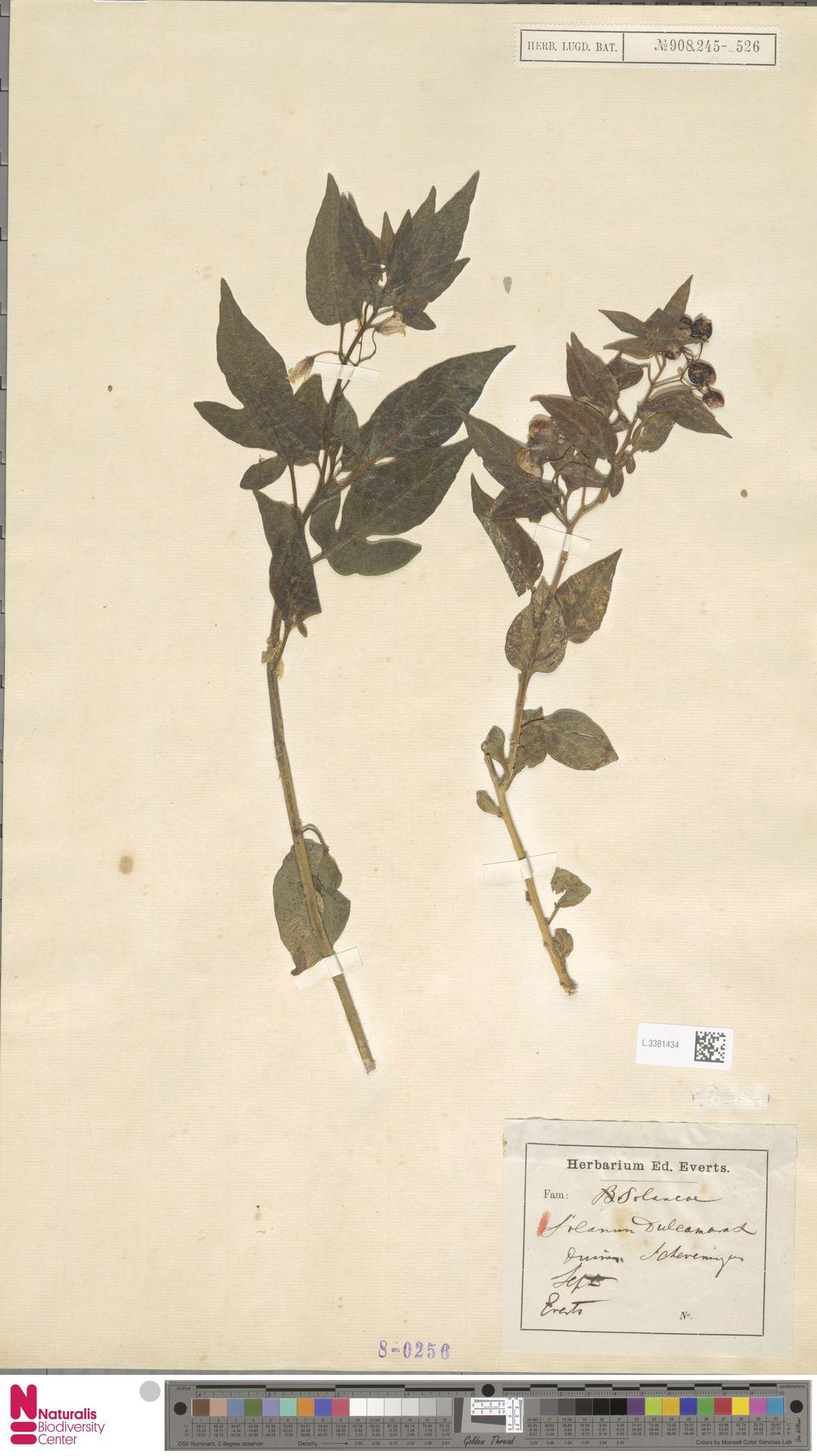 L.3381434   Solanum dulcamara L.