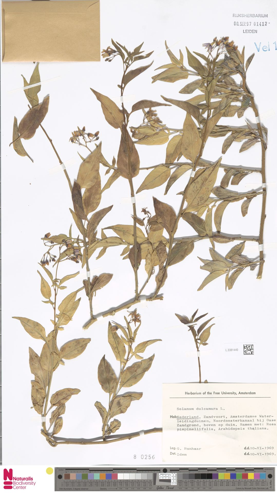 L.3381440 | Solanum dulcamara L.