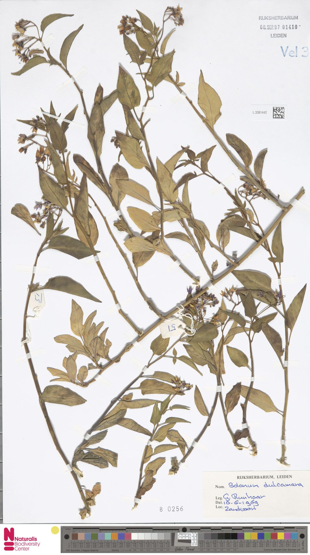 L.3381442   Solanum dulcamara L.