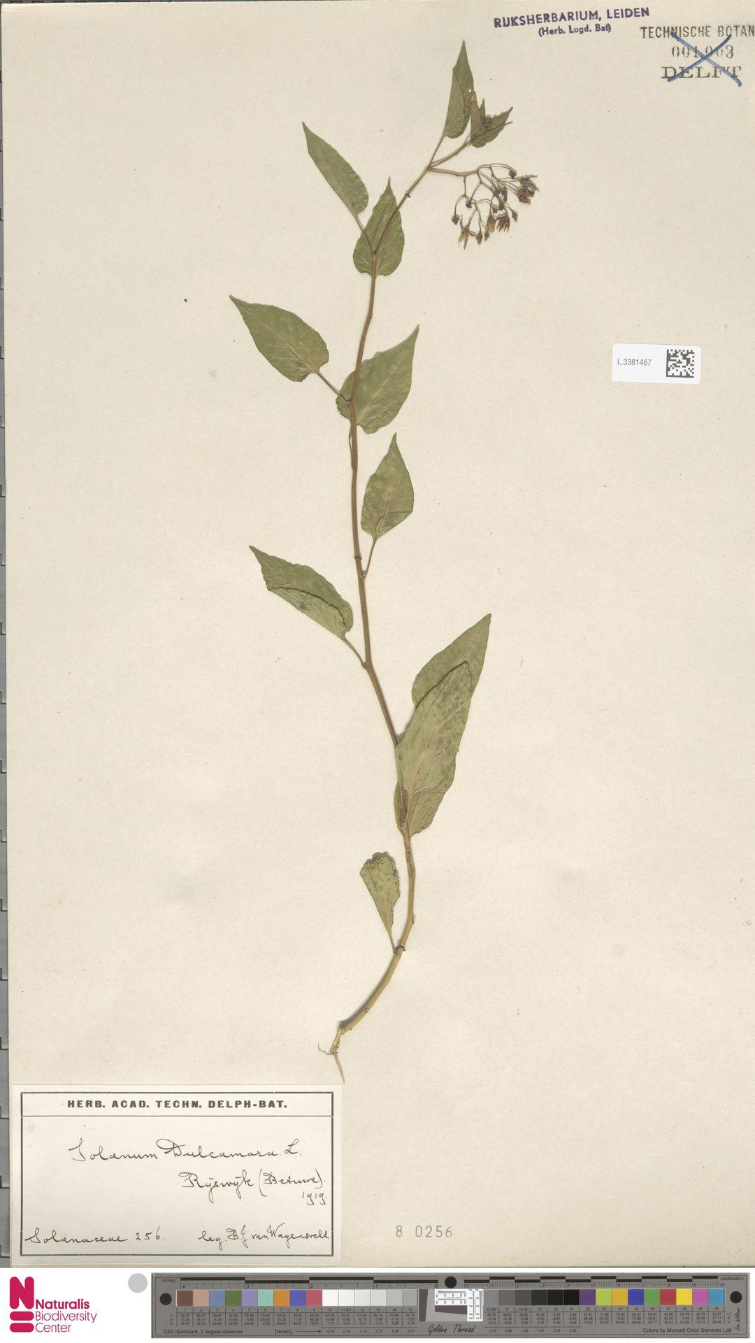 L.3381467 | Solanum dulcamara L.