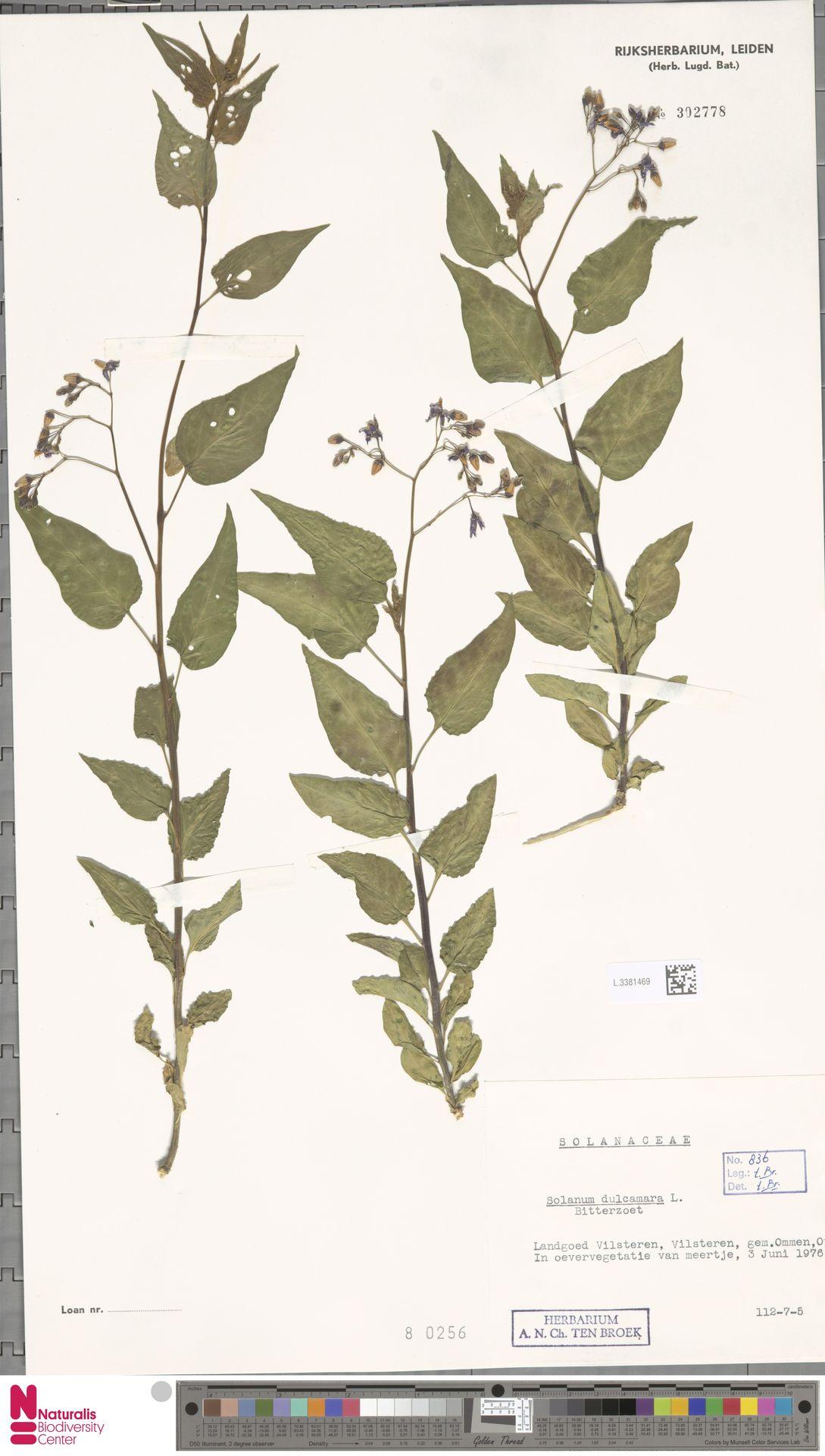 L.3381469 | Solanum dulcamara L.