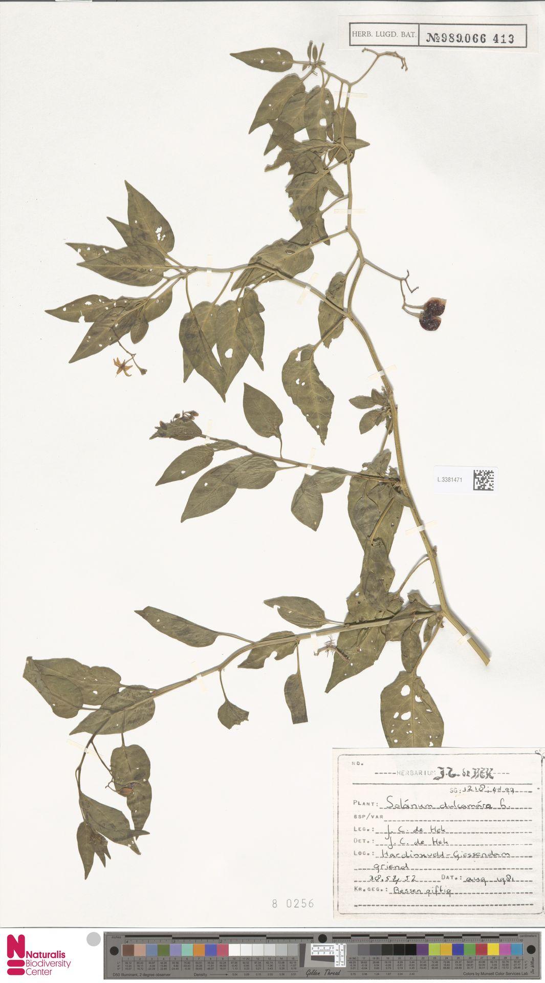 L.3381471 | Solanum dulcamara L.