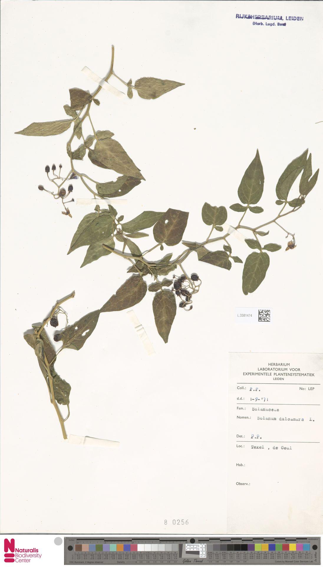 L.3381474   Solanum dulcamara L.