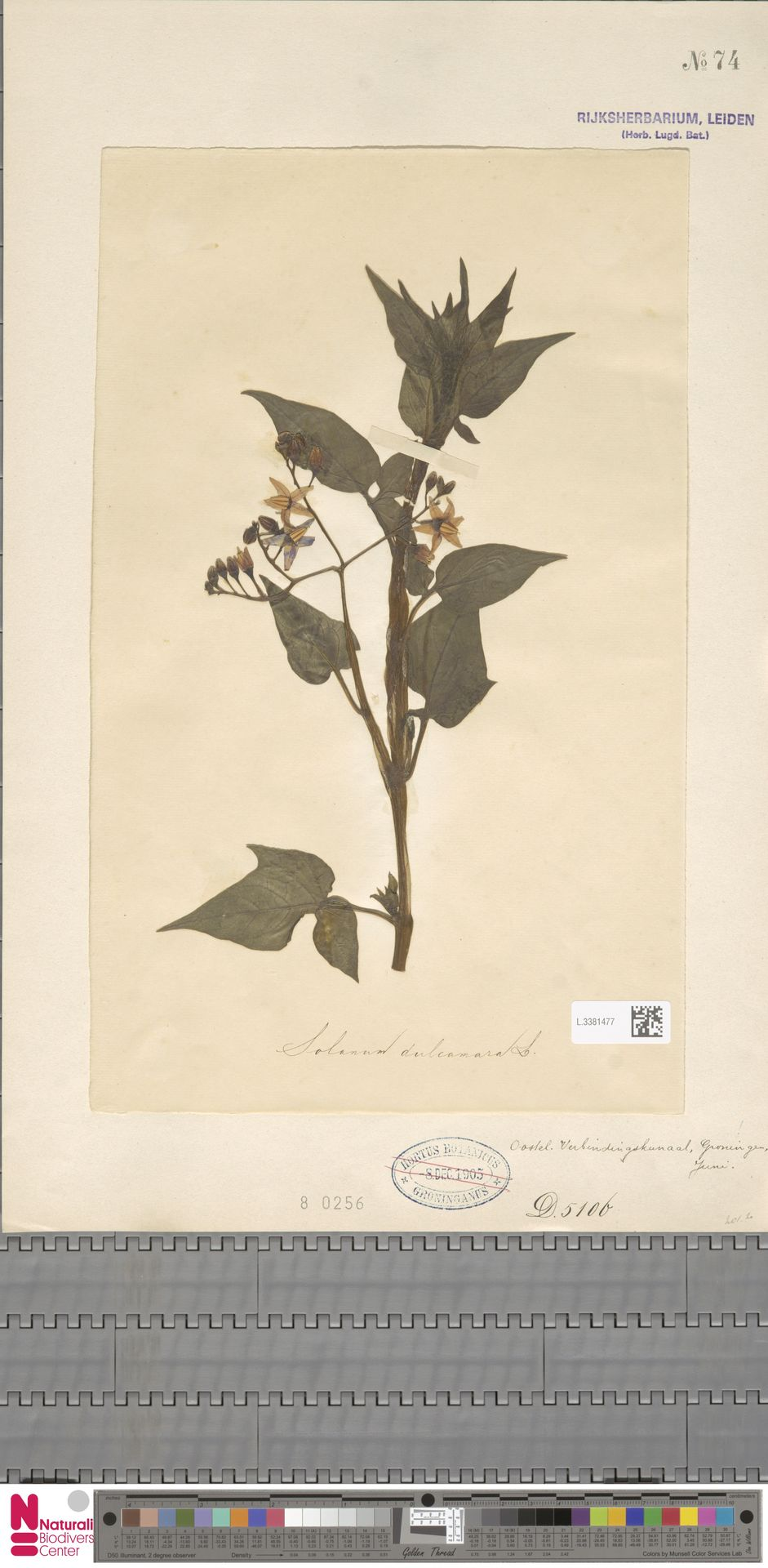 L.3381477 | Solanum dulcamara L.