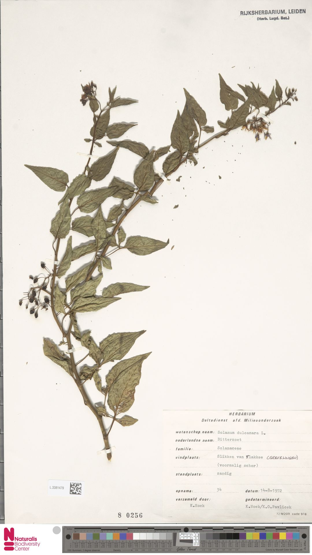 L.3381479 | Solanum dulcamara L.