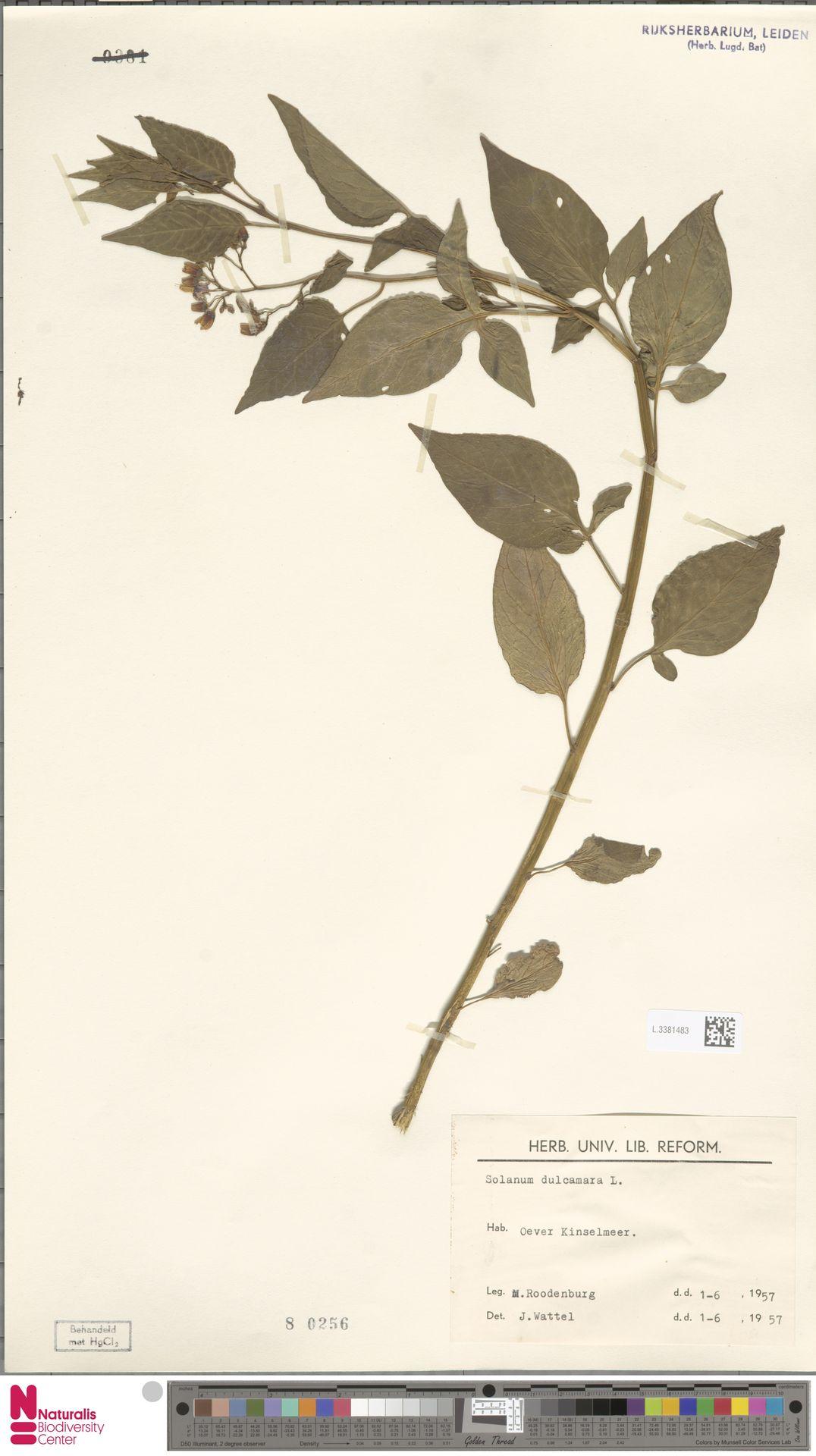 L.3381483   Solanum dulcamara L.