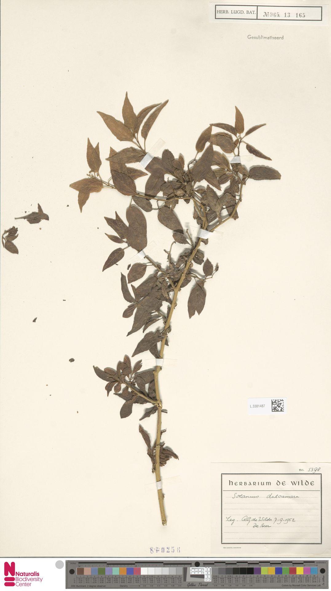 L.3381487 | Solanum dulcamara L.