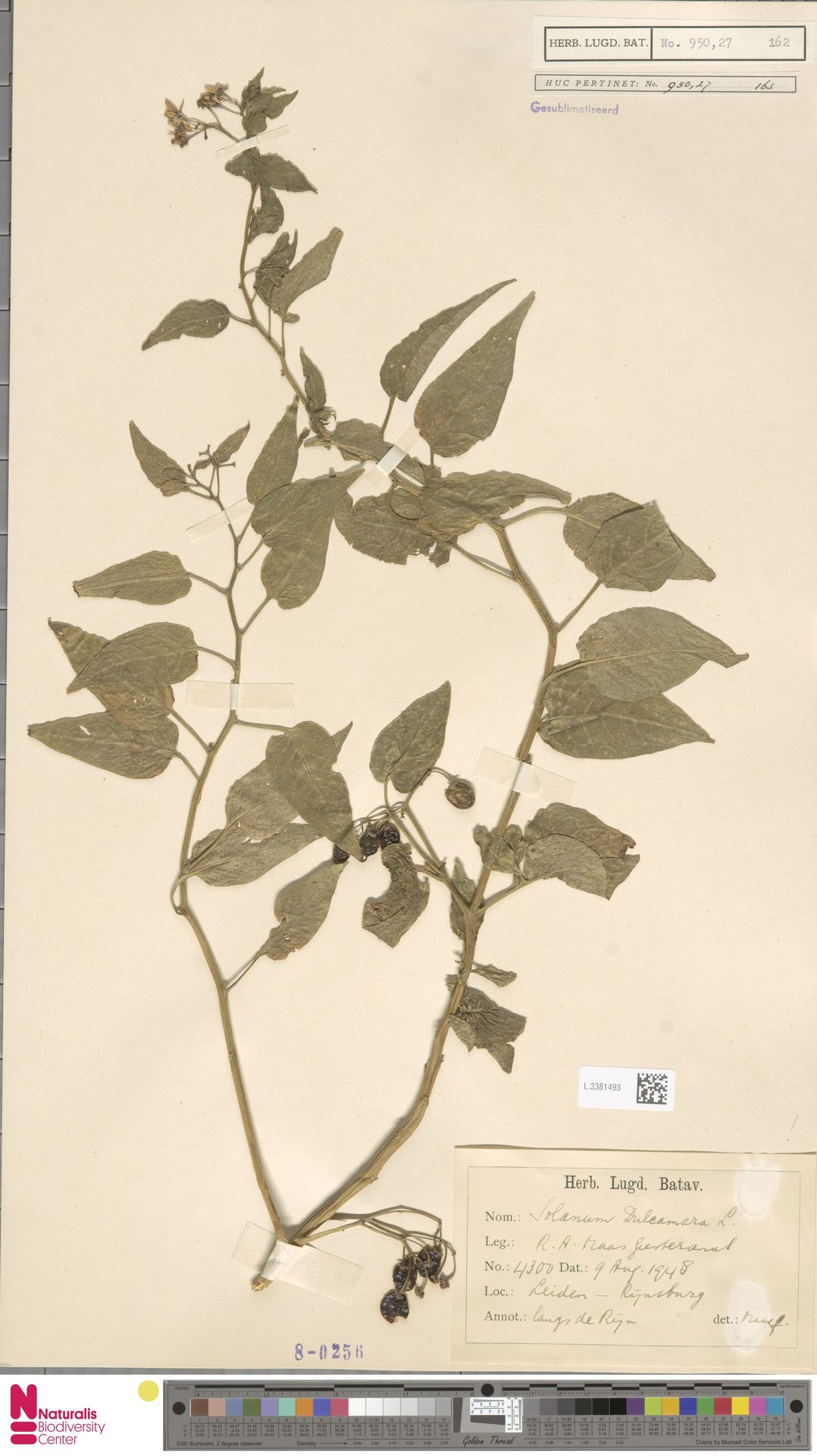 L.3381493 | Solanum dulcamara L.