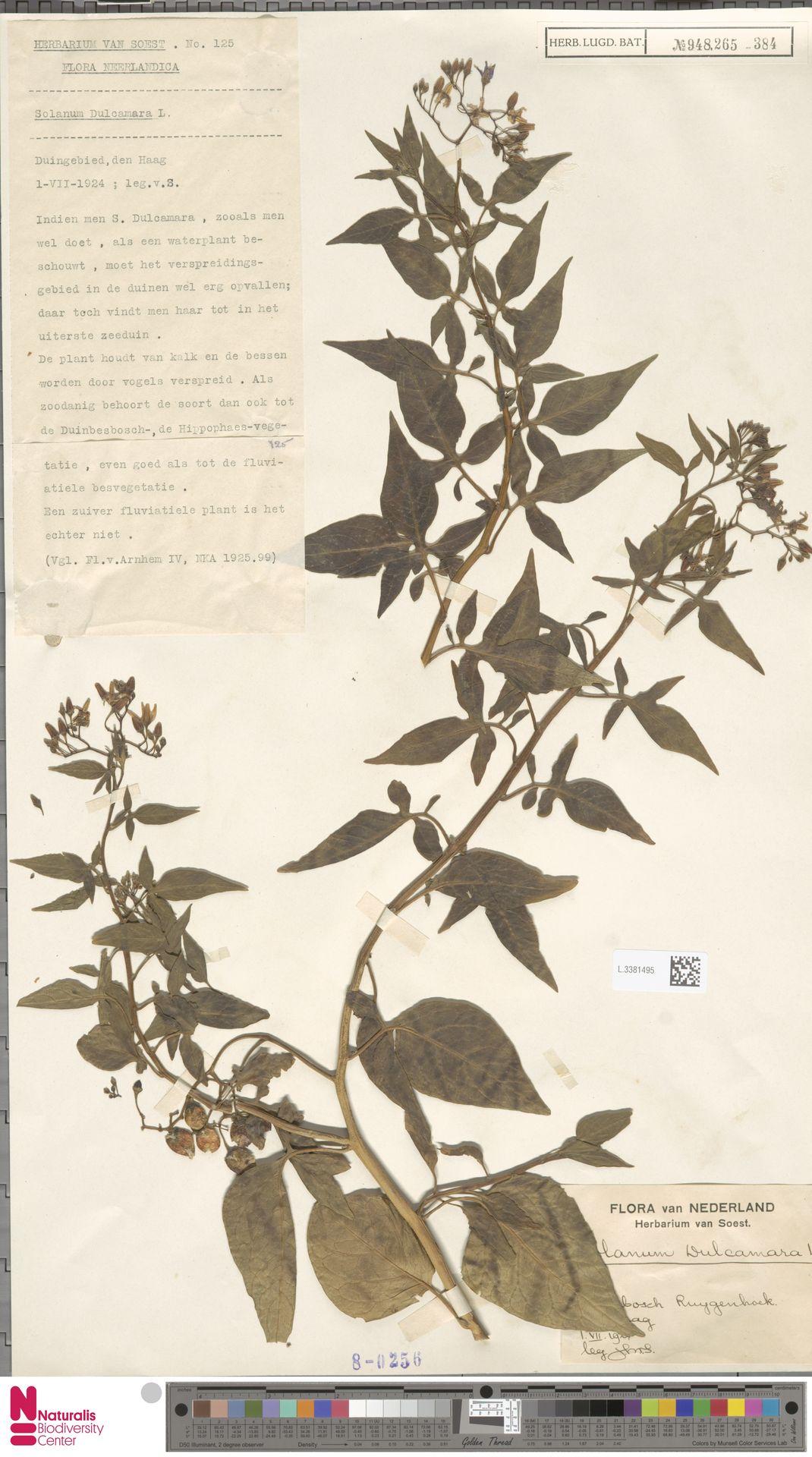 L.3381495 | Solanum dulcamara L.
