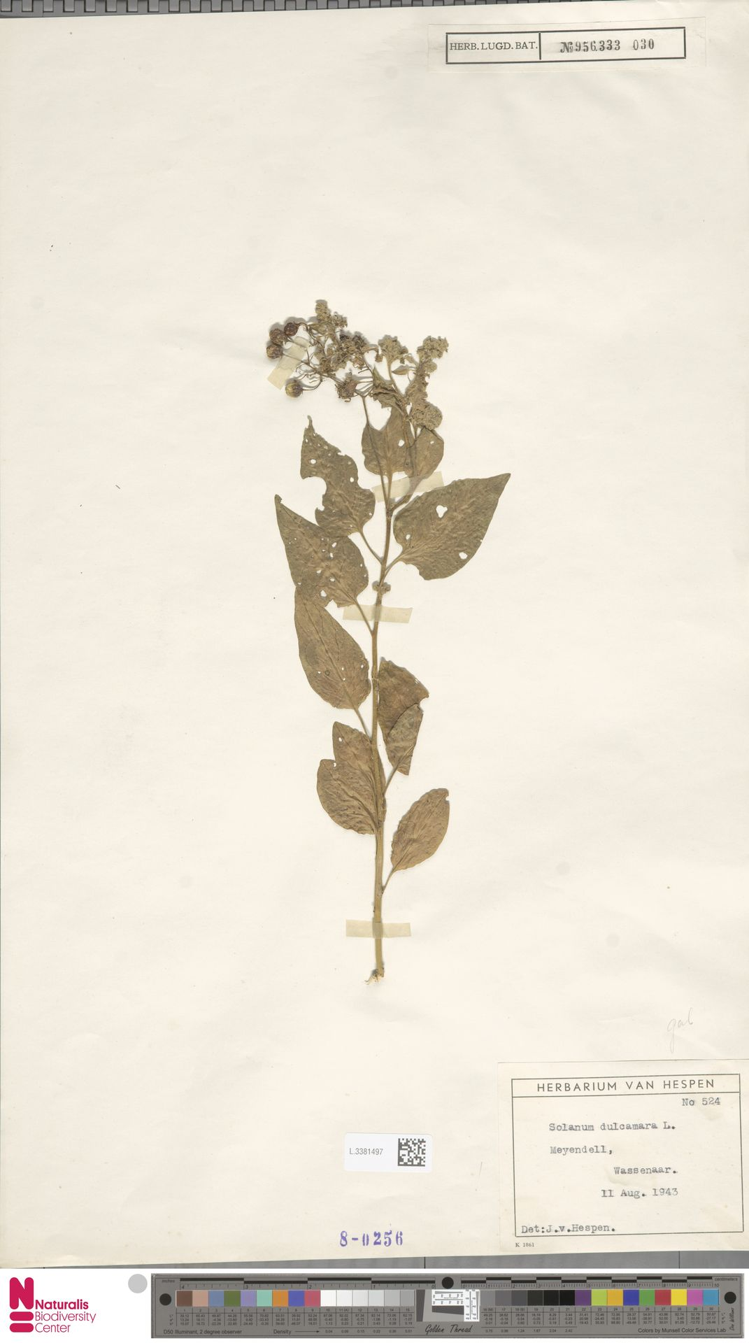 L.3381497 | Solanum dulcamara L.